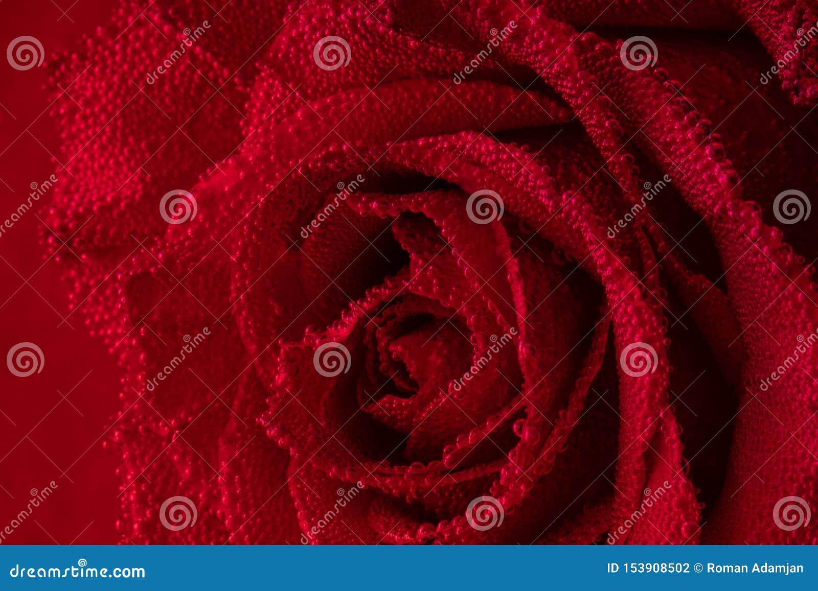 Rosa roja con las burbujas de aire en los pétalos Rose en el acuario