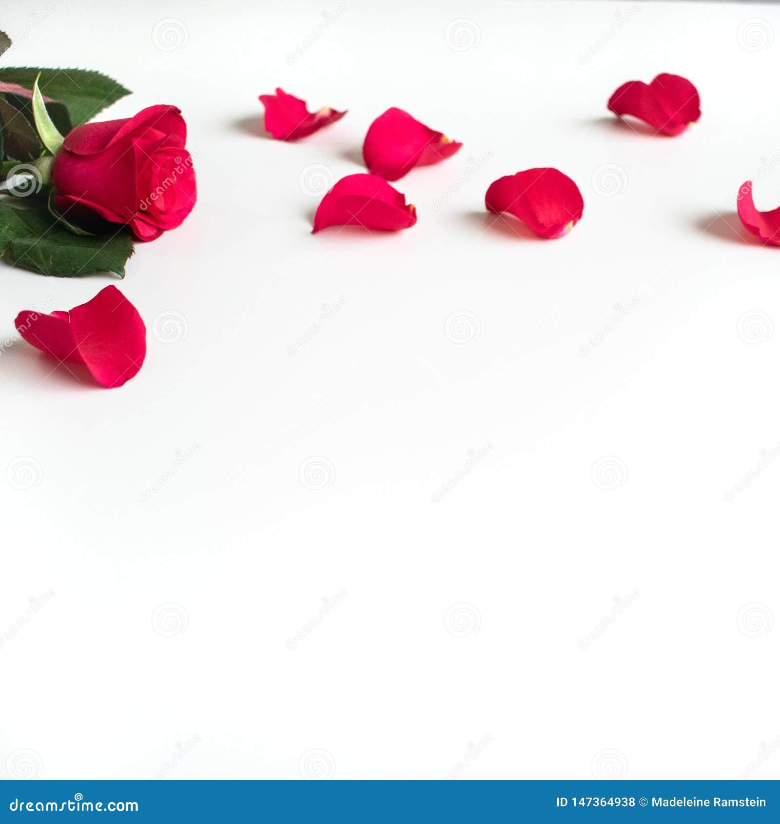 Rosa roja en una tabla blanca con los pétalos rojos