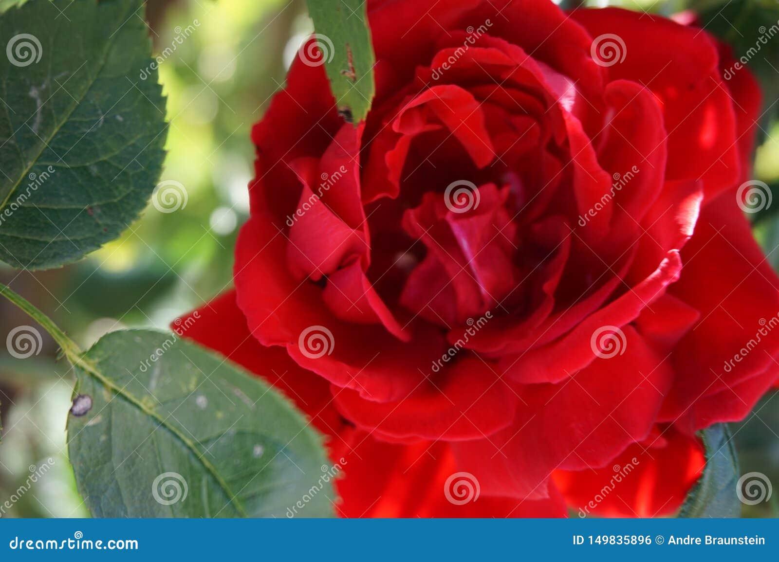 Rosa roja hermosa con las hojas en primer