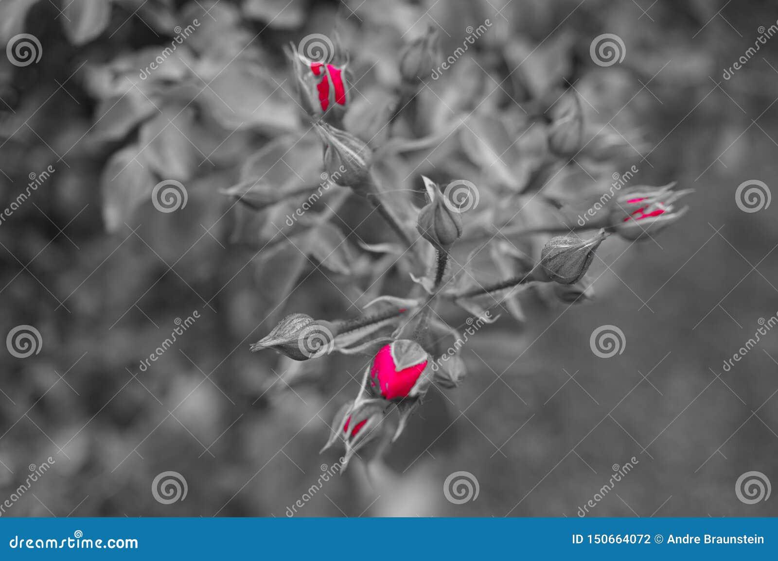 Rosa roja no todavía florecida, fondo en blanco negro
