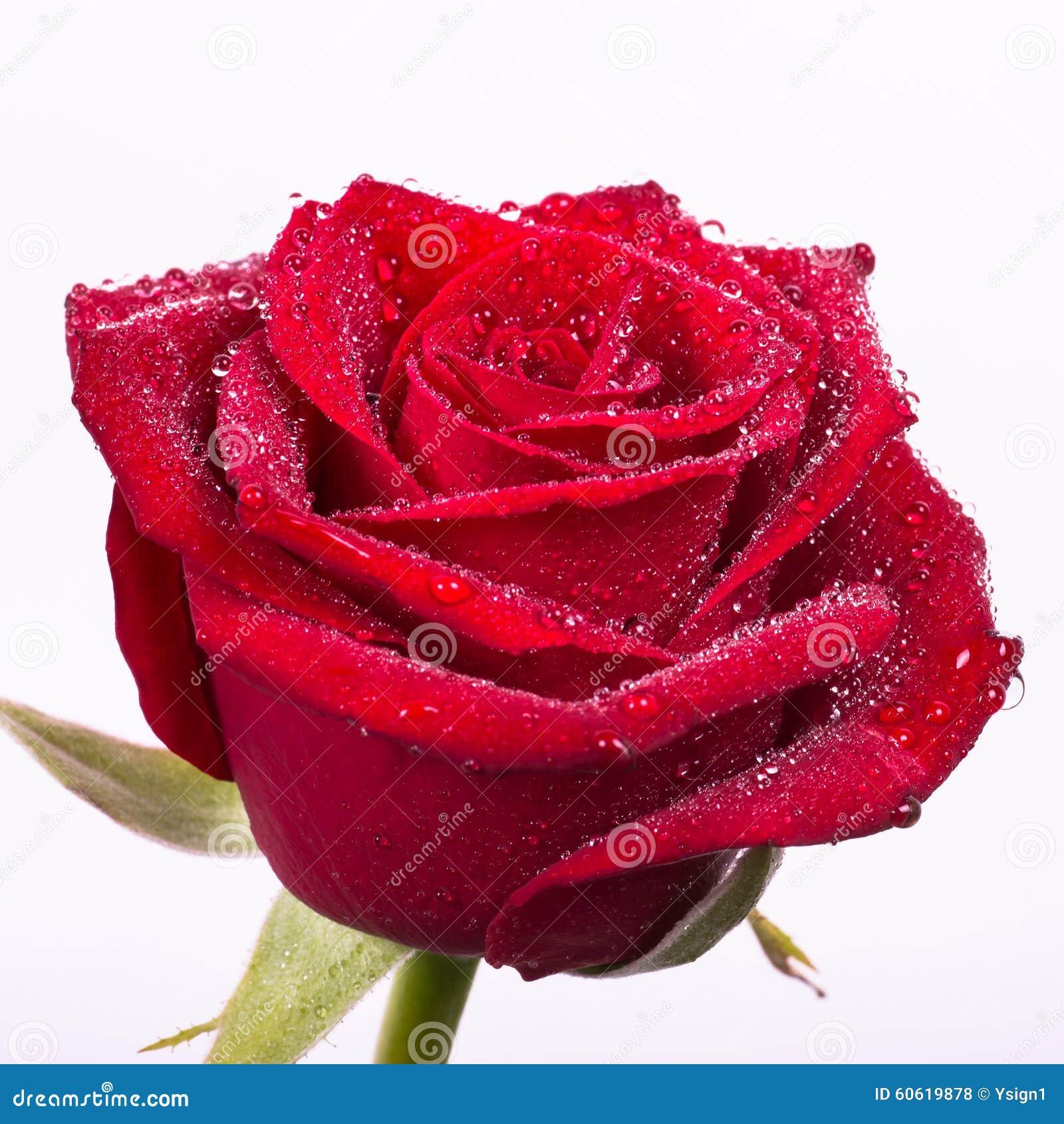 Rosa Roja Sangre Hermosa Con Descensos Del Agua Foto De Archivo