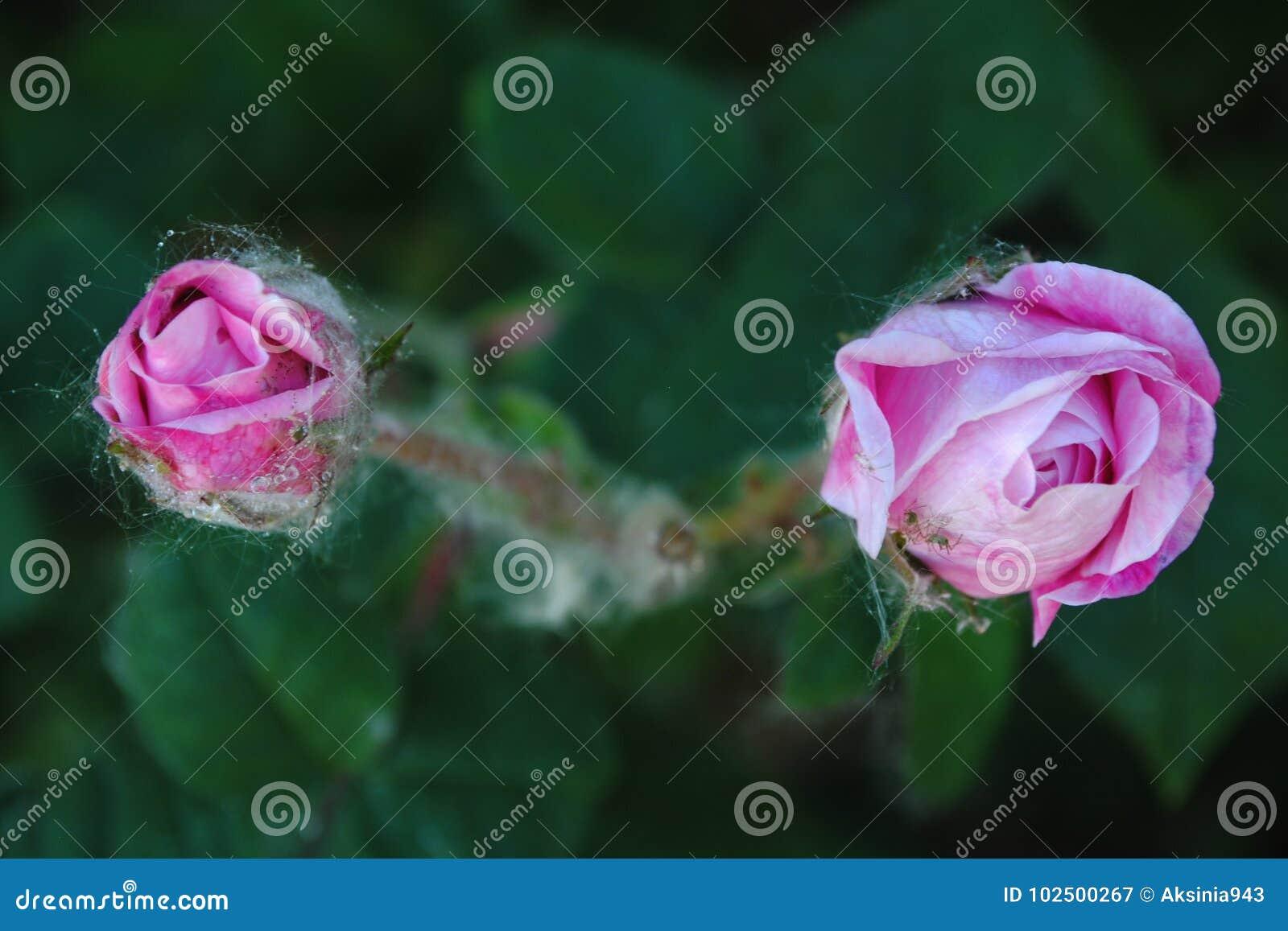 Rosa Rosen, die im Garten blühen