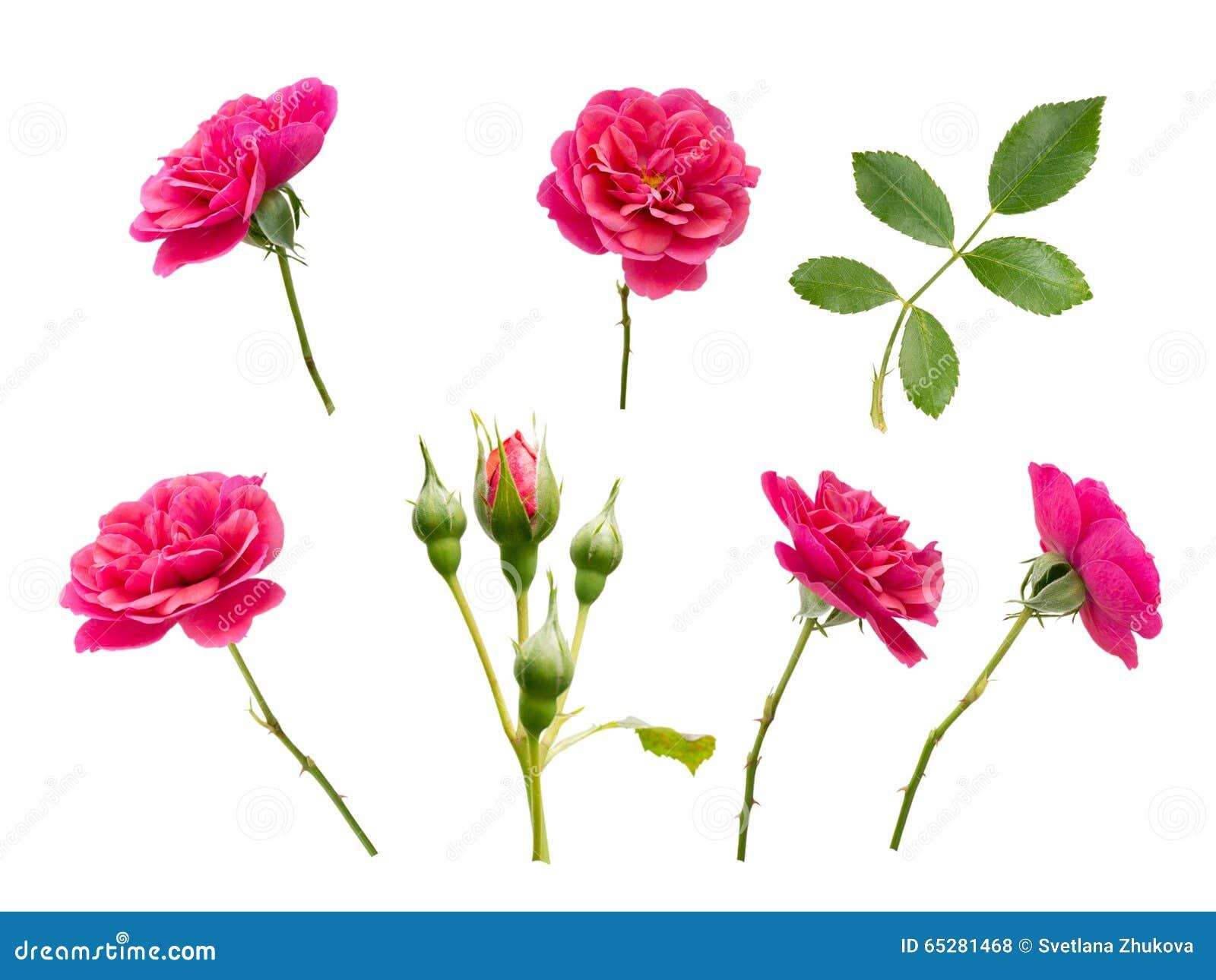 rosa rosen knospen und bl tter stockfoto bild 65281468. Black Bedroom Furniture Sets. Home Design Ideas