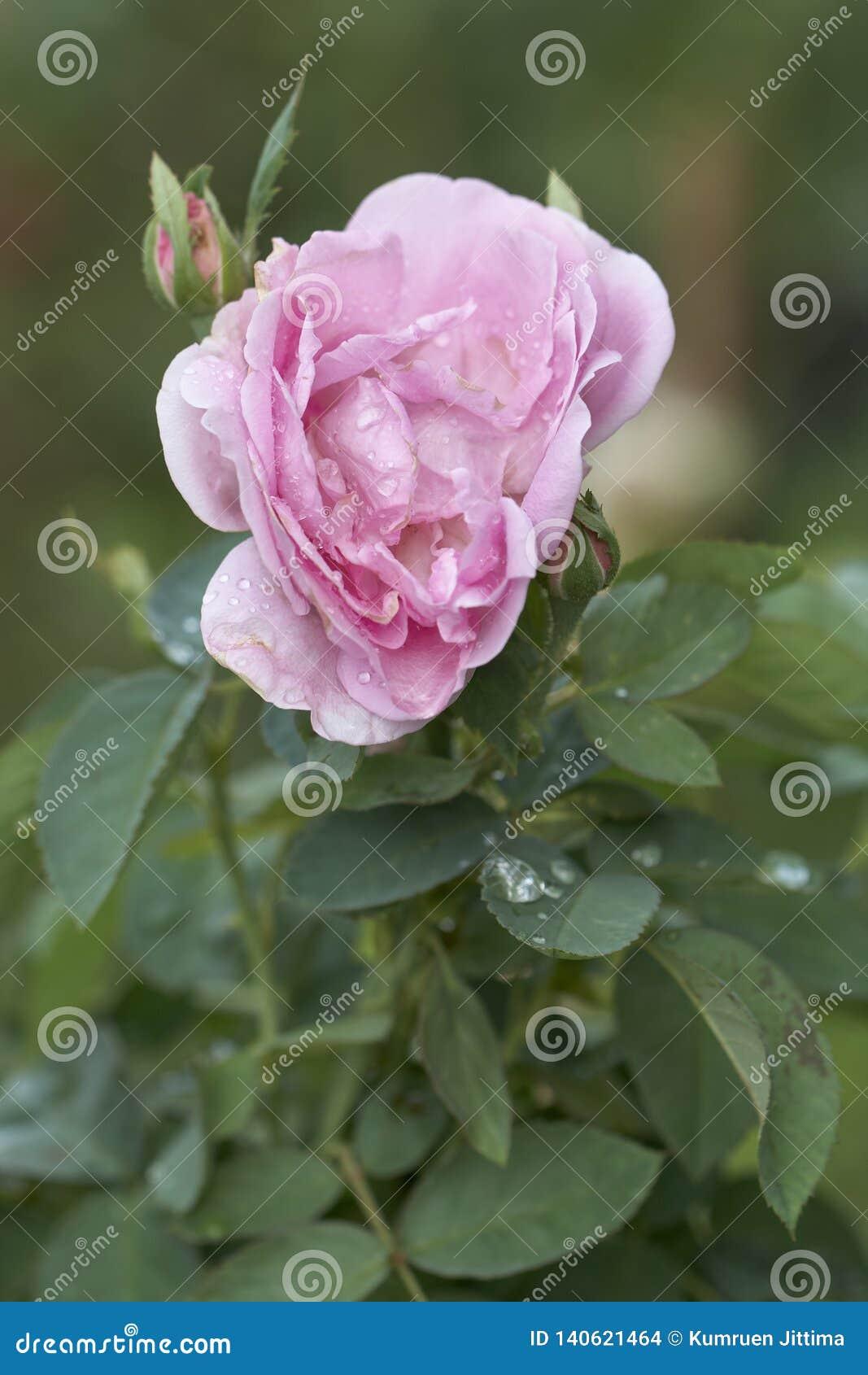 Rosa rosor är i sin helhetblom