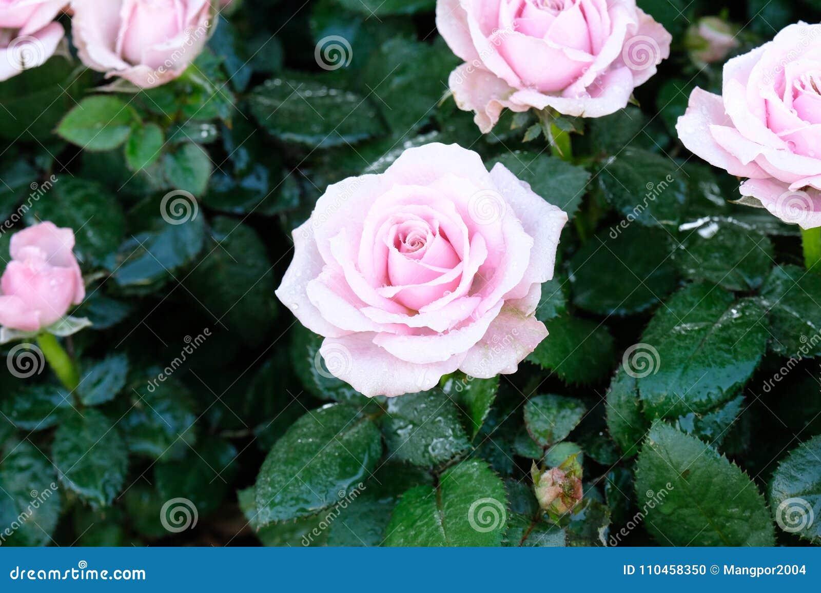 Rosa rosor blomstrar i vårnaturbakgrund, blommavalentin
