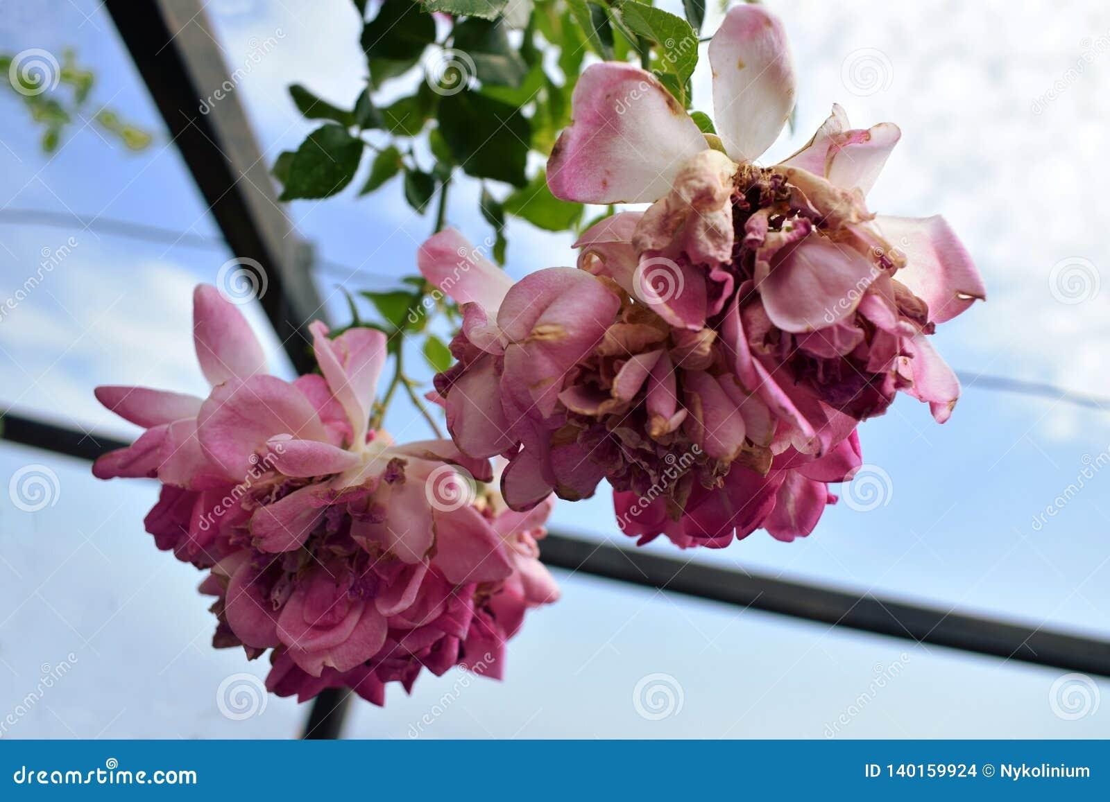 Rosa rosor med bakgrund för blå himmel
