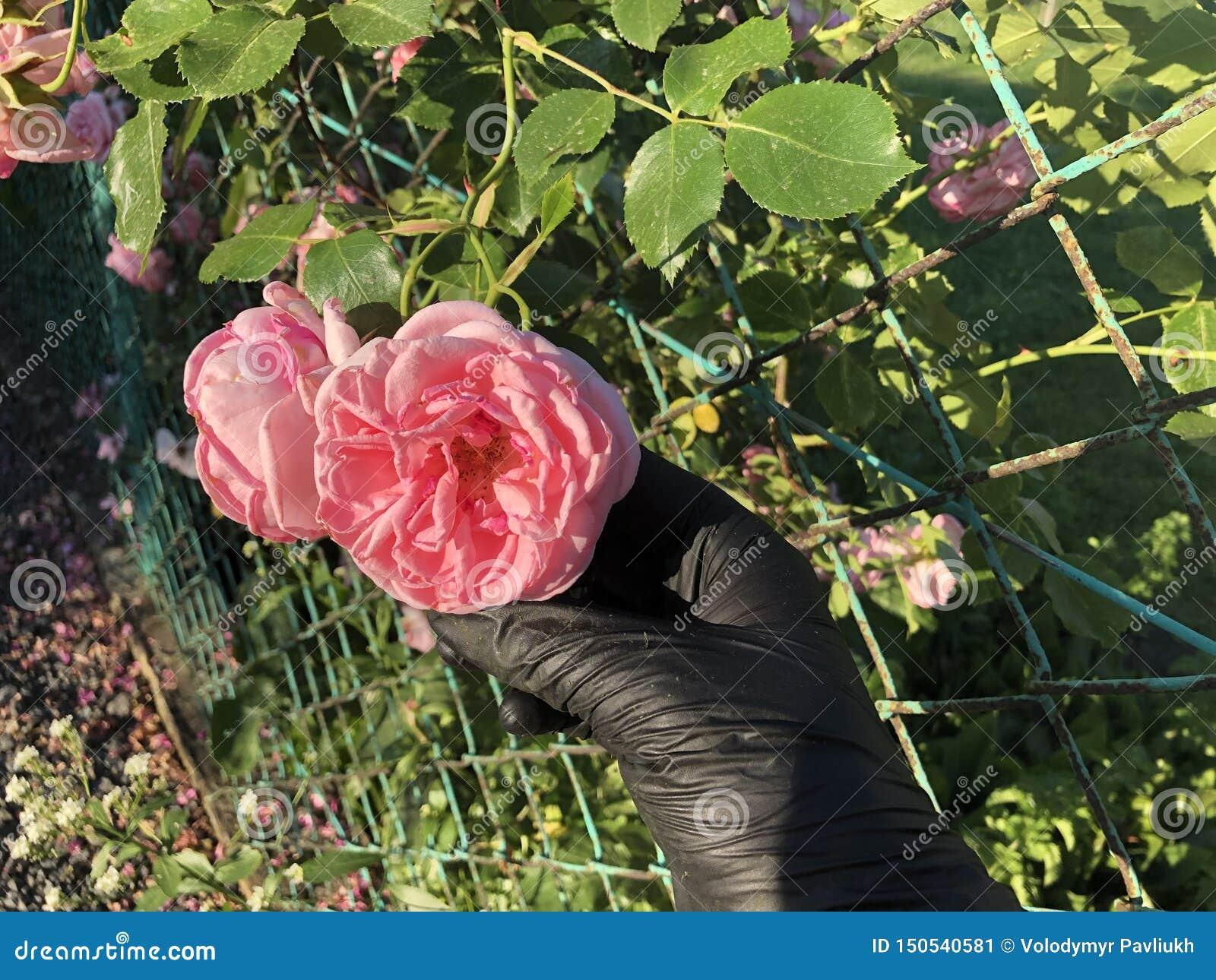 Rosa rosor med en hand i svarta handskar