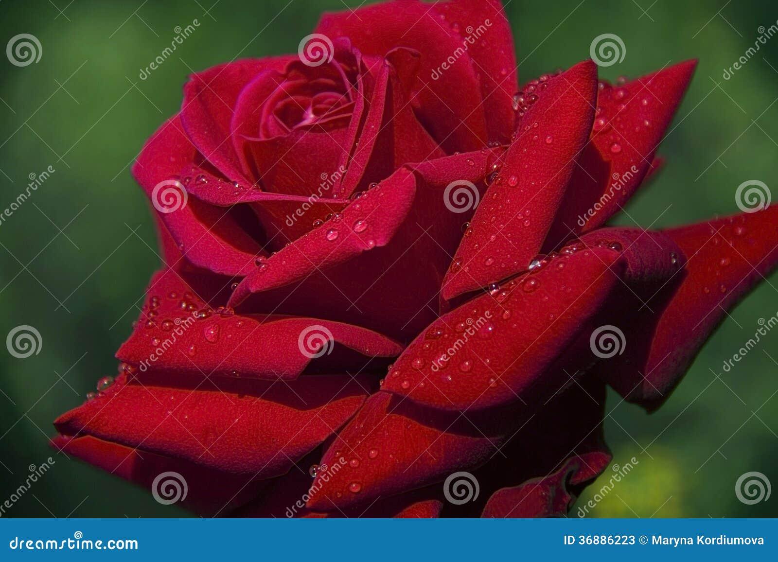 Download Rosa rossa immagine stock. Immagine di fioritura, flora - 36886223