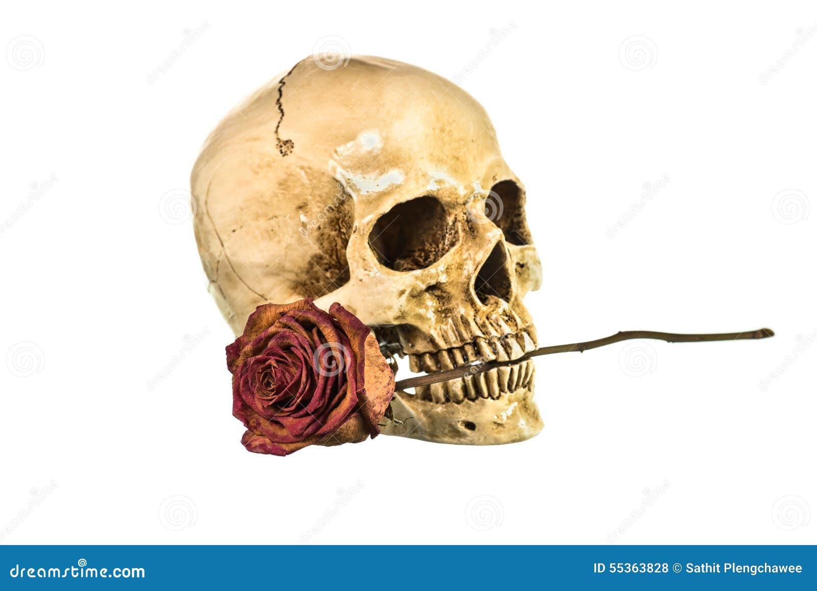 Rosa rossa asciutta in denti del cranio umano su fondo bianco