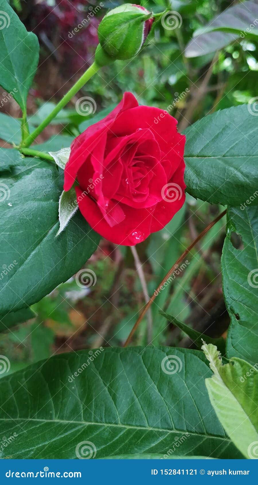 Rosa rossa con colore luminoso