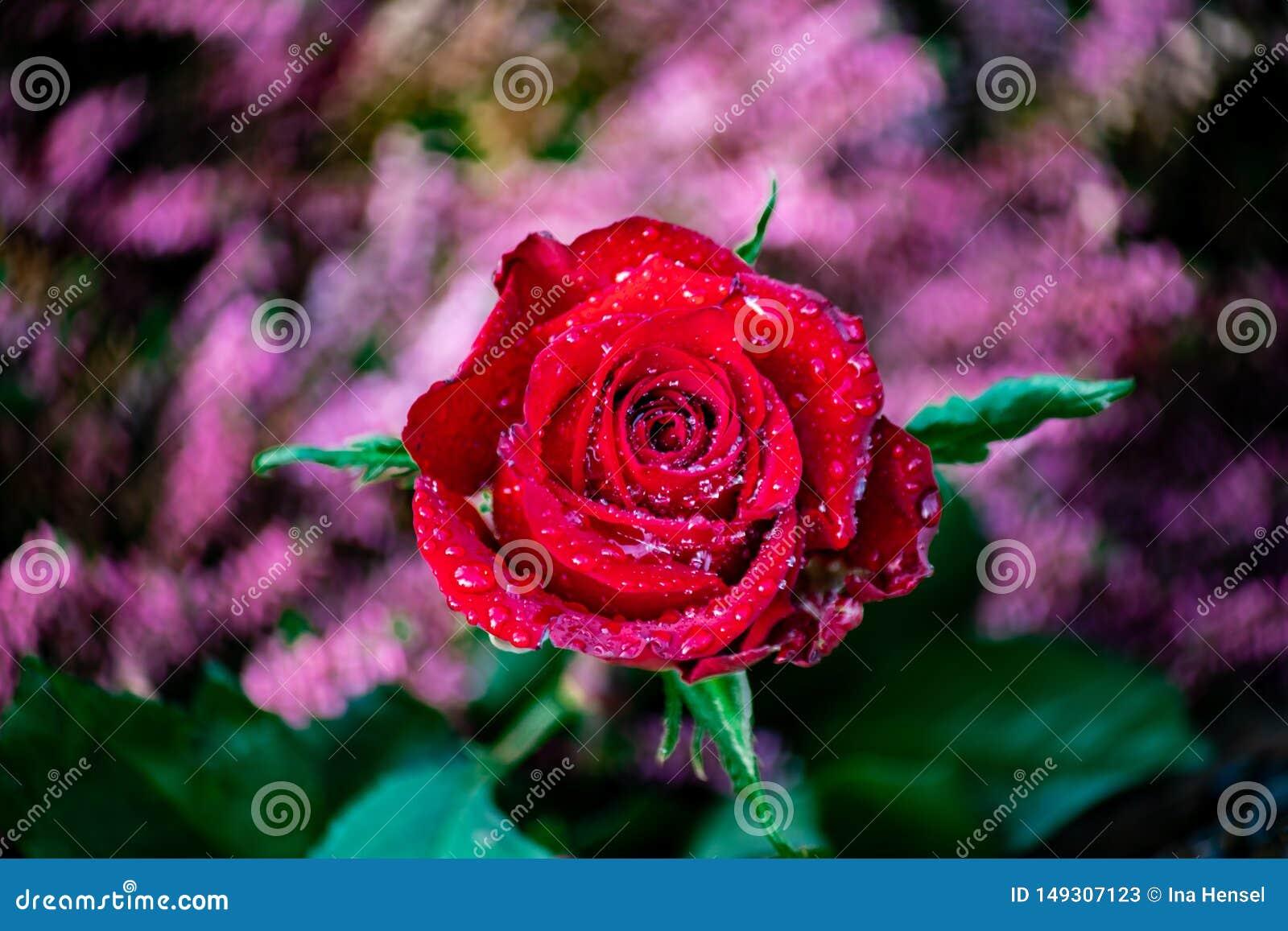 Rosa rossa con i waterdrops brillanti