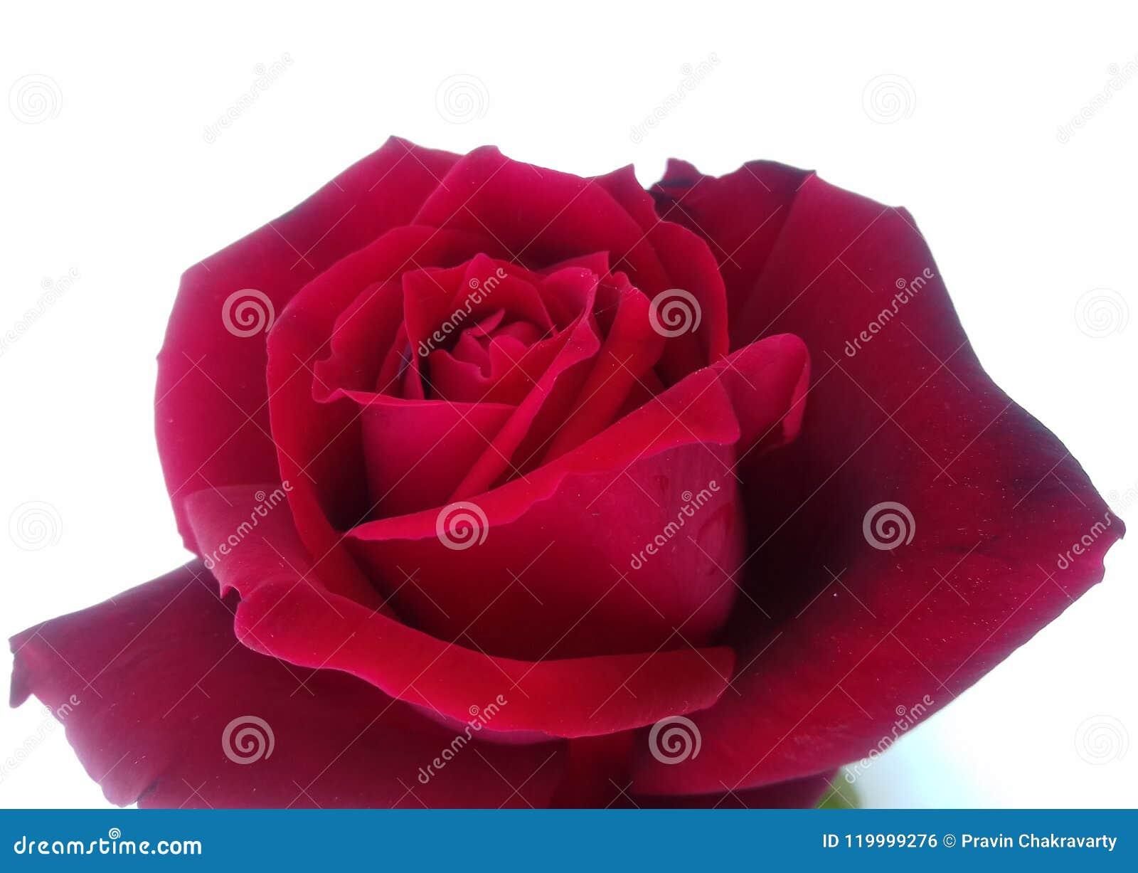 Carta Da Parati Rosa Bianca : Rosa rossa con la carta da parati strutturata bianca del fondo