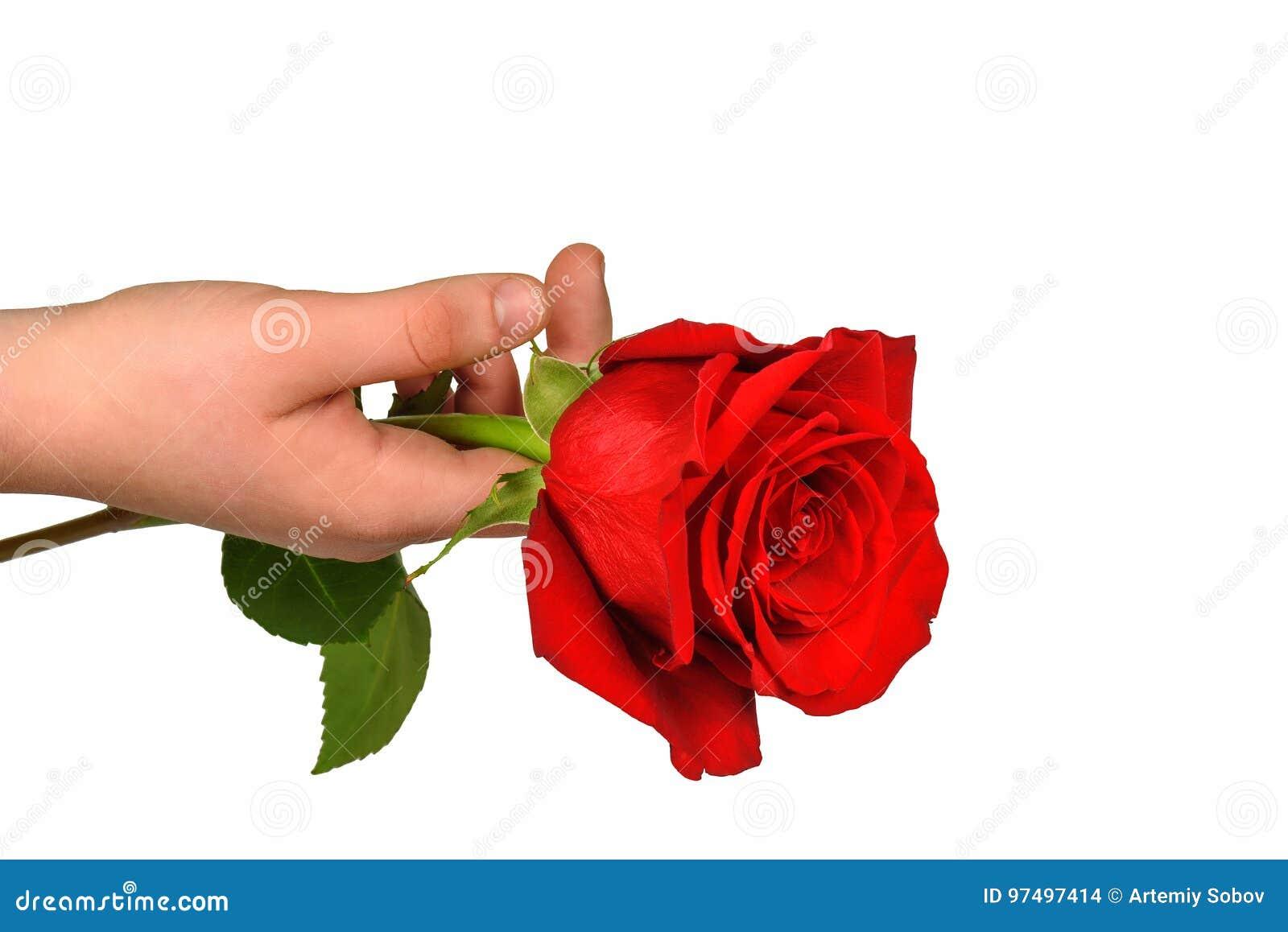 Rosa rossa a disposizione isolata