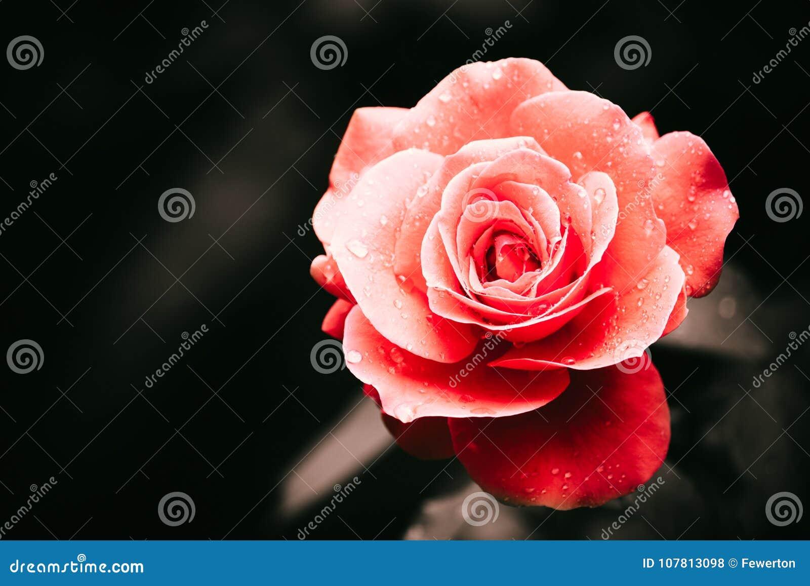 Rosa rossa dopo il dettaglio della pioggia con parecchie goccioline