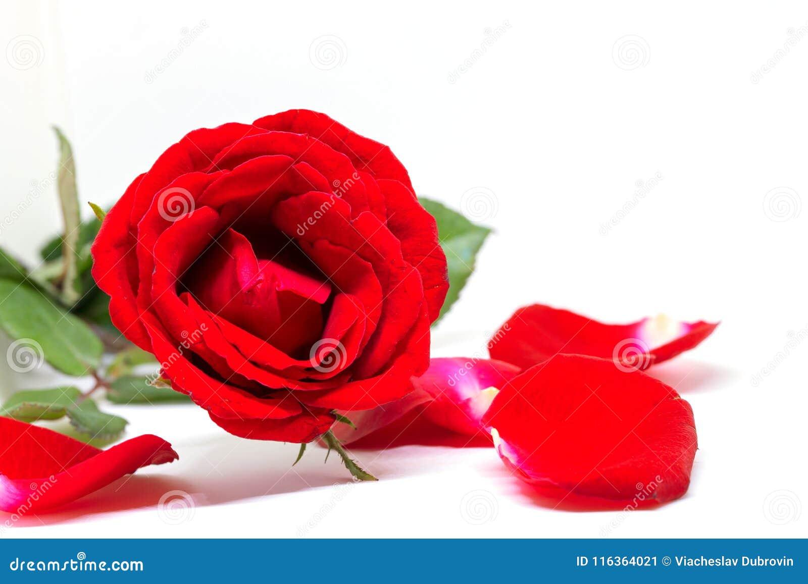 Rosa Con Petali Di Velluto Rossa Idea Di Immagine Del Torta