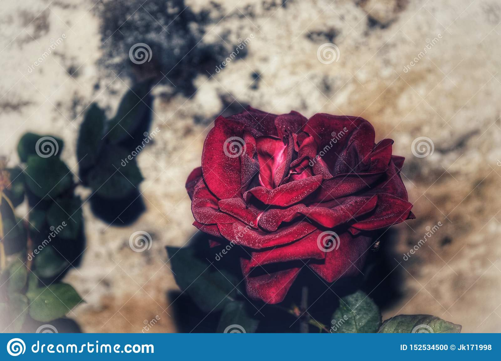 Rosa rossa nell amore indiano
