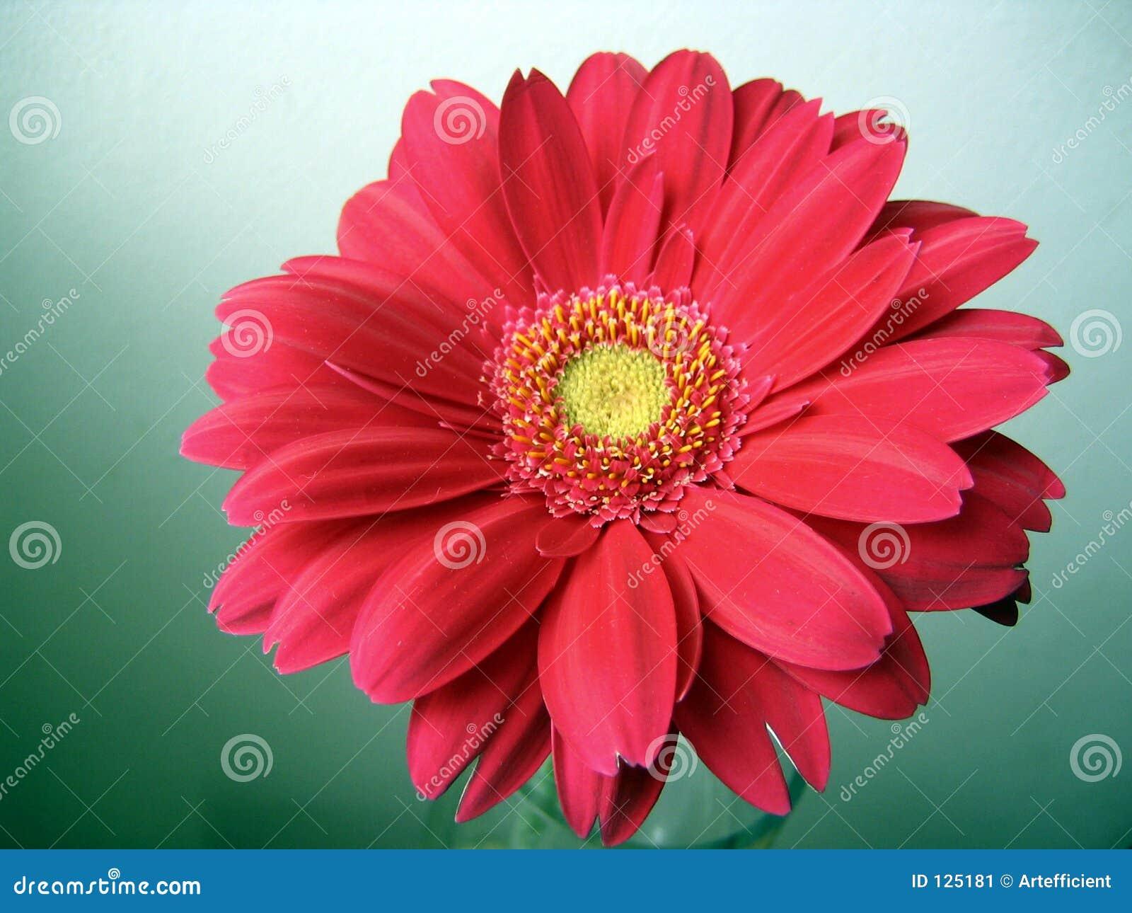 Rosa-rosso con la fine concentrare gialla del Gerbera in su
