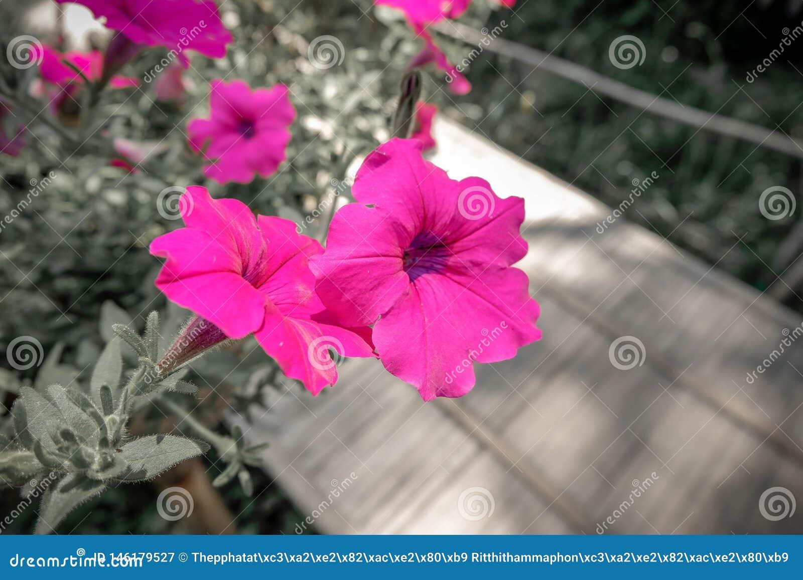 Rosa roxo da flor nas mem?rias