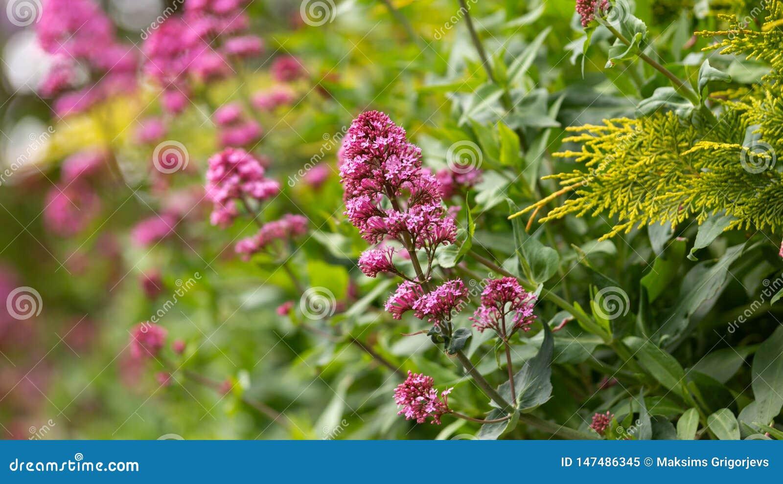 Rosa ruber för valerianablommaCentranthus i engelsk stugaträdgård för vår