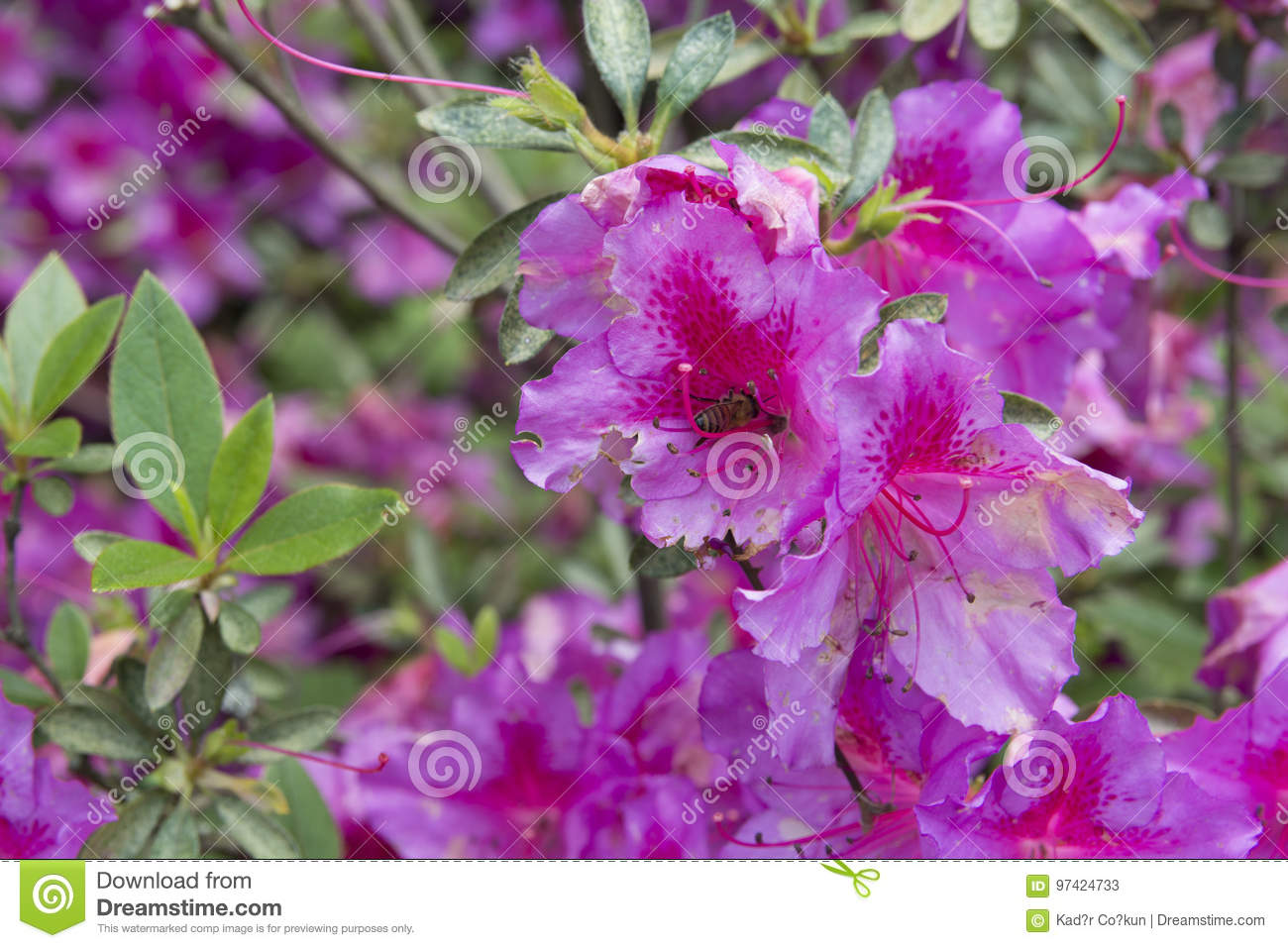 Rosa Rugosa Stock Image Image Of Rose Beauty Insect 97424733