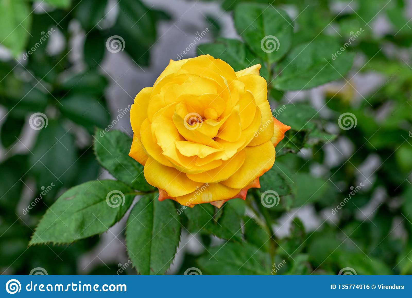Rosa sbocciante rosa gialla
