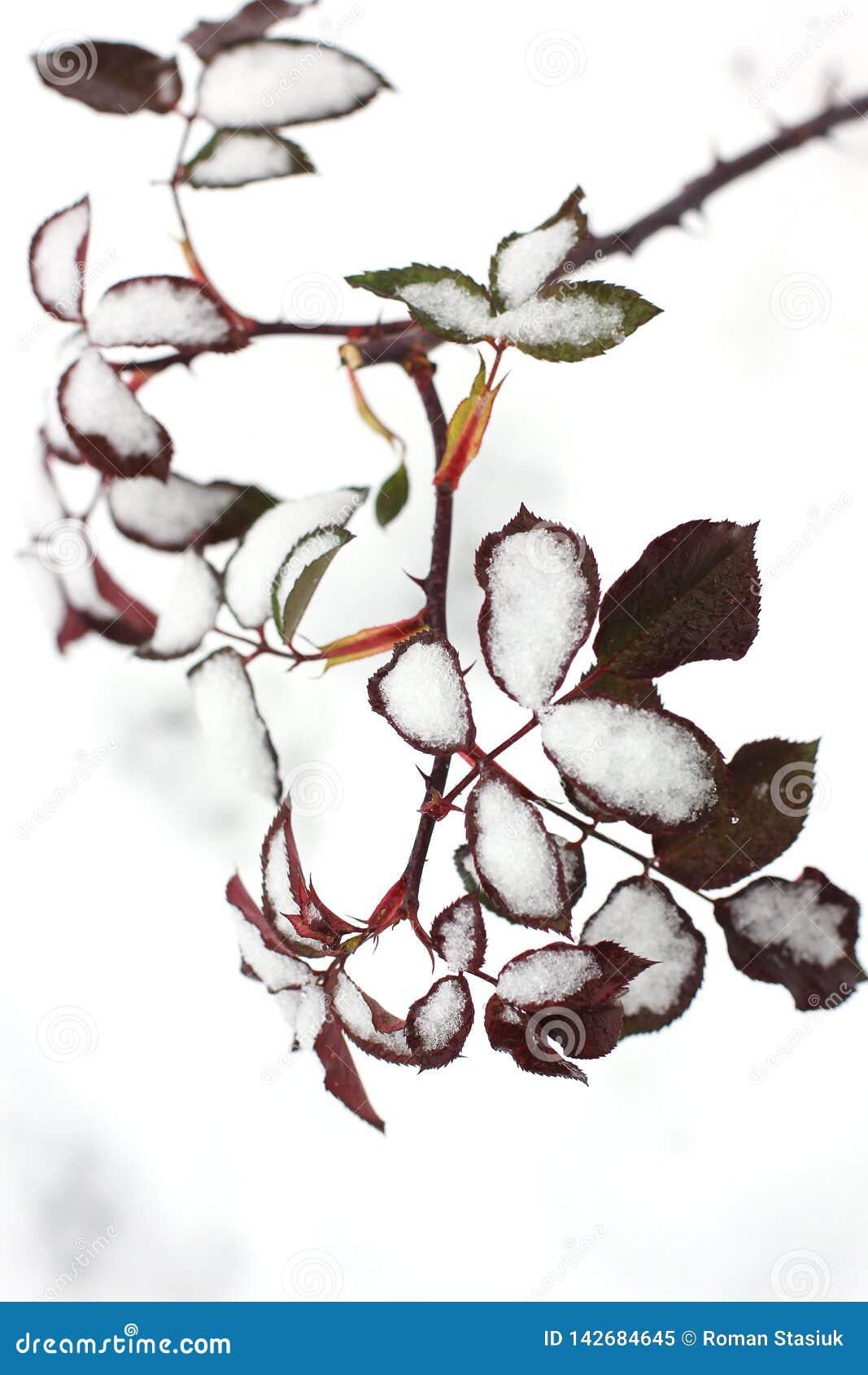 Rosa sidor i snön