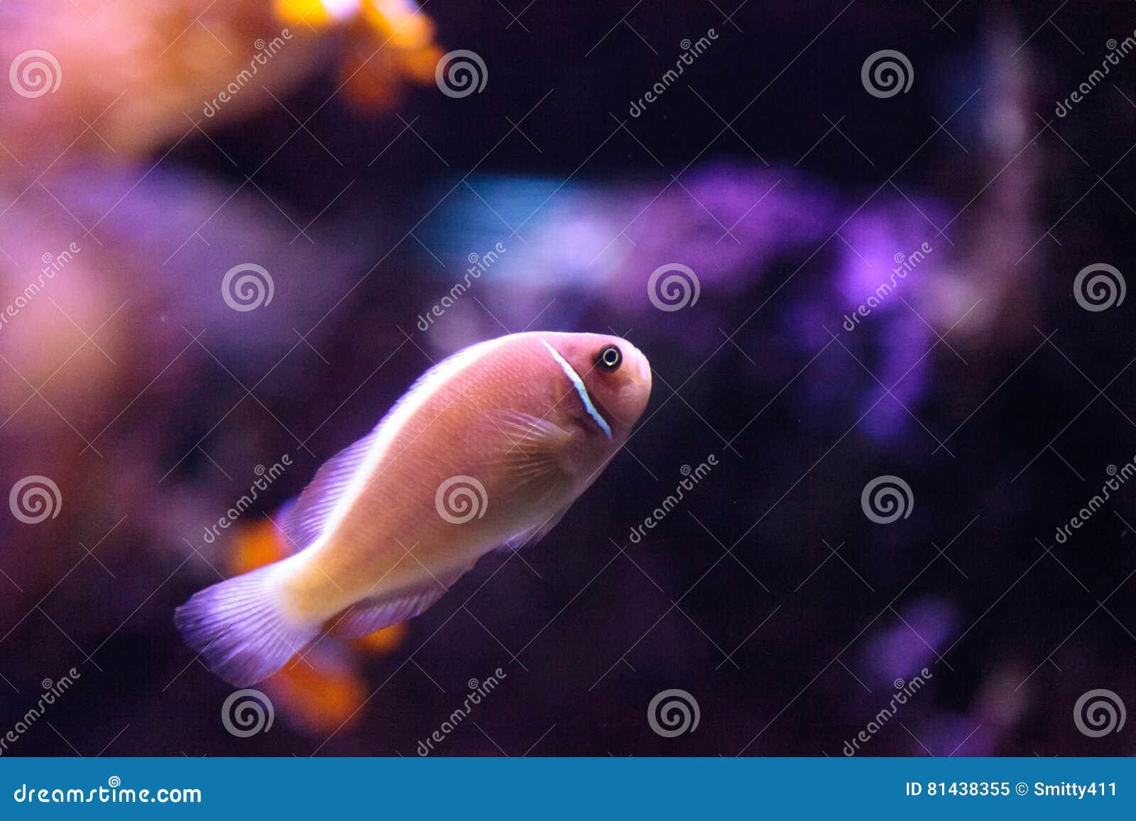 Rosa skunkclownfish kallade den Amphiprion perideraionen