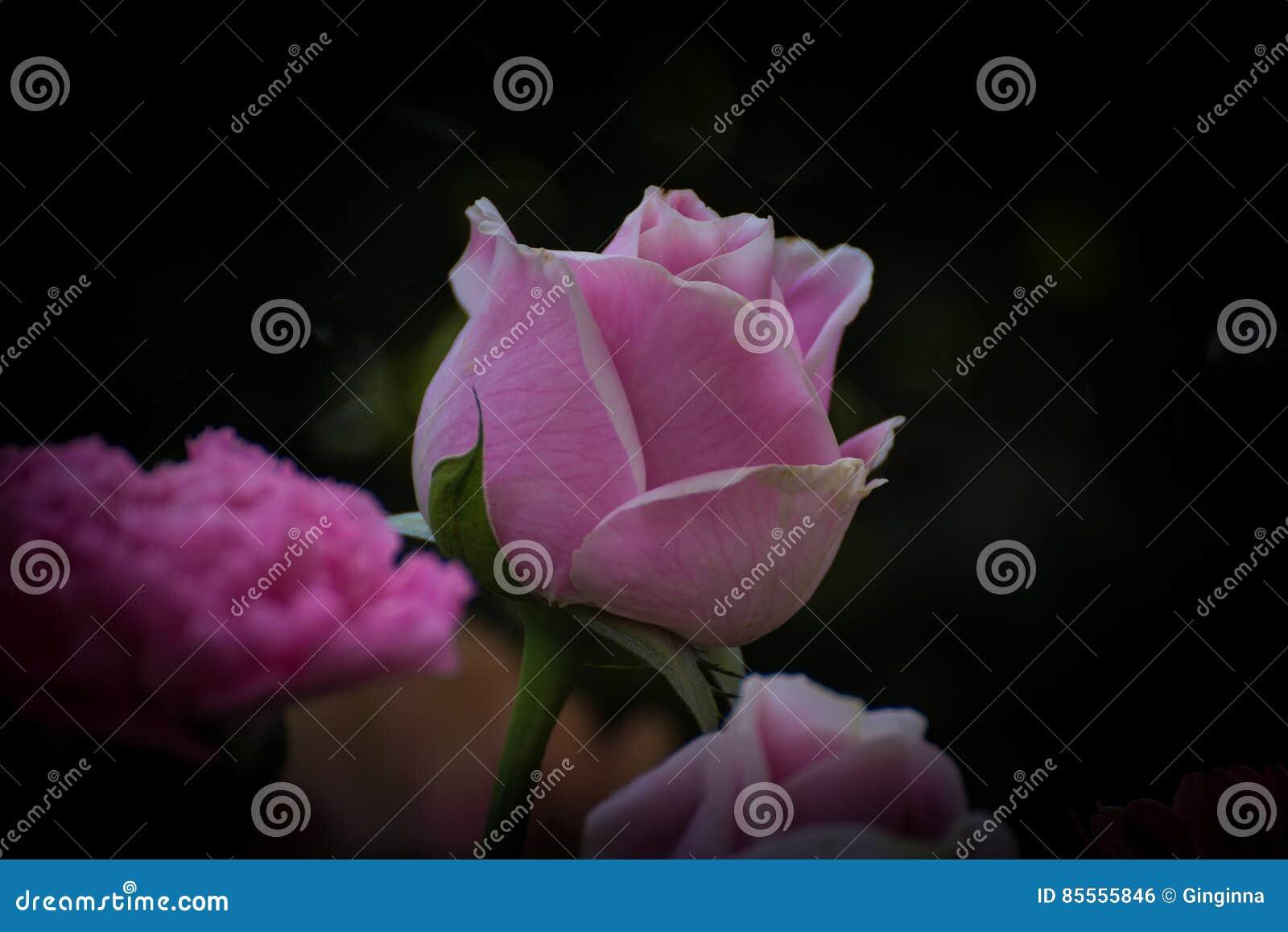 Rosa stieg auf dunklen Hintergrund