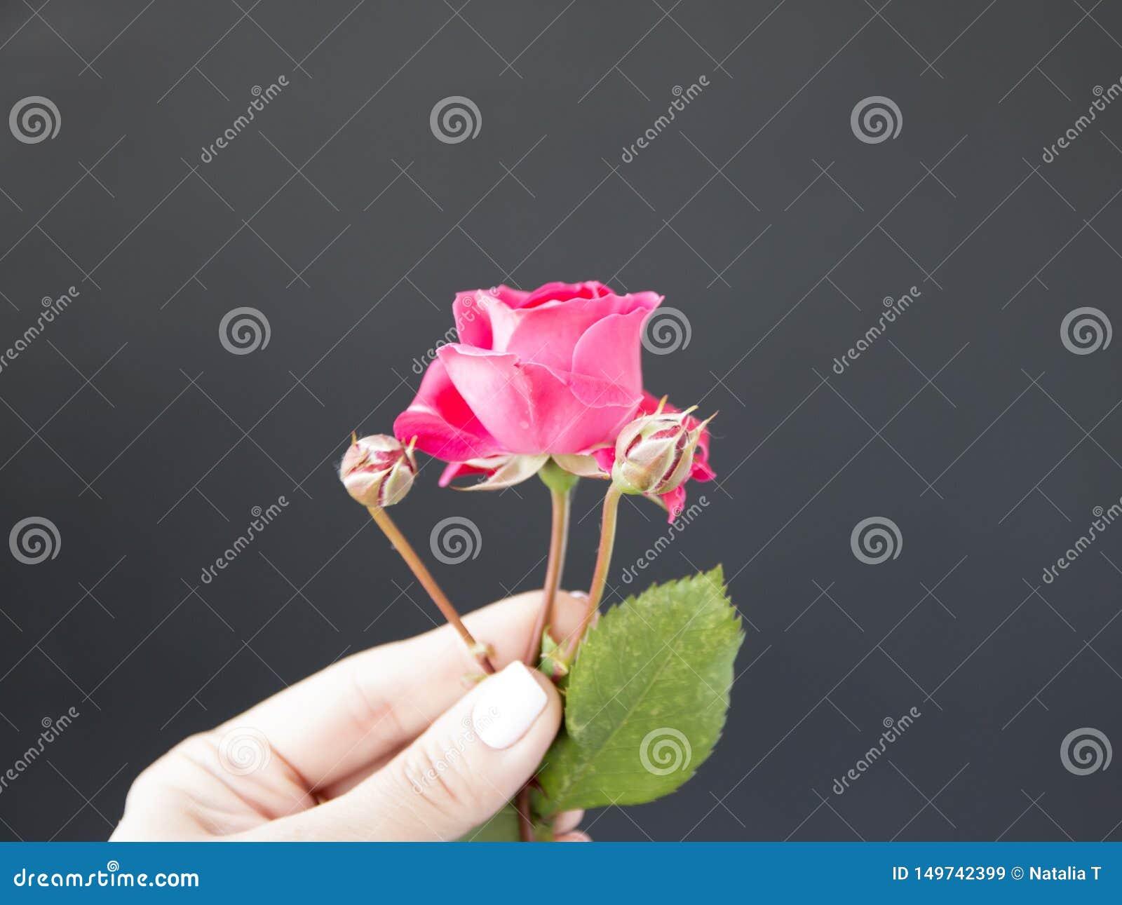 Rosa stieg in der Hand gegen, ein schwarzer Hintergrund
