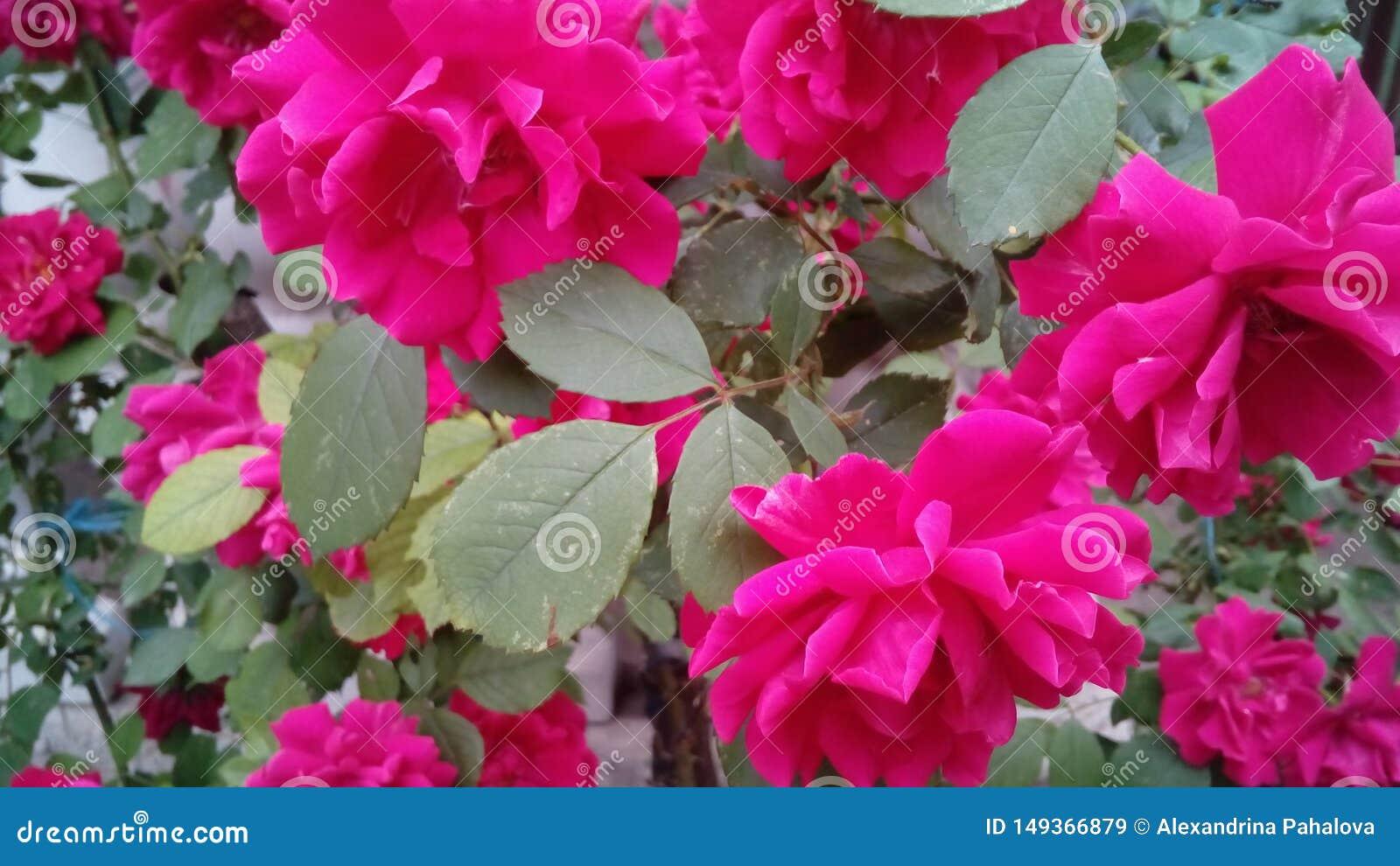 Rosa stieg rosebush