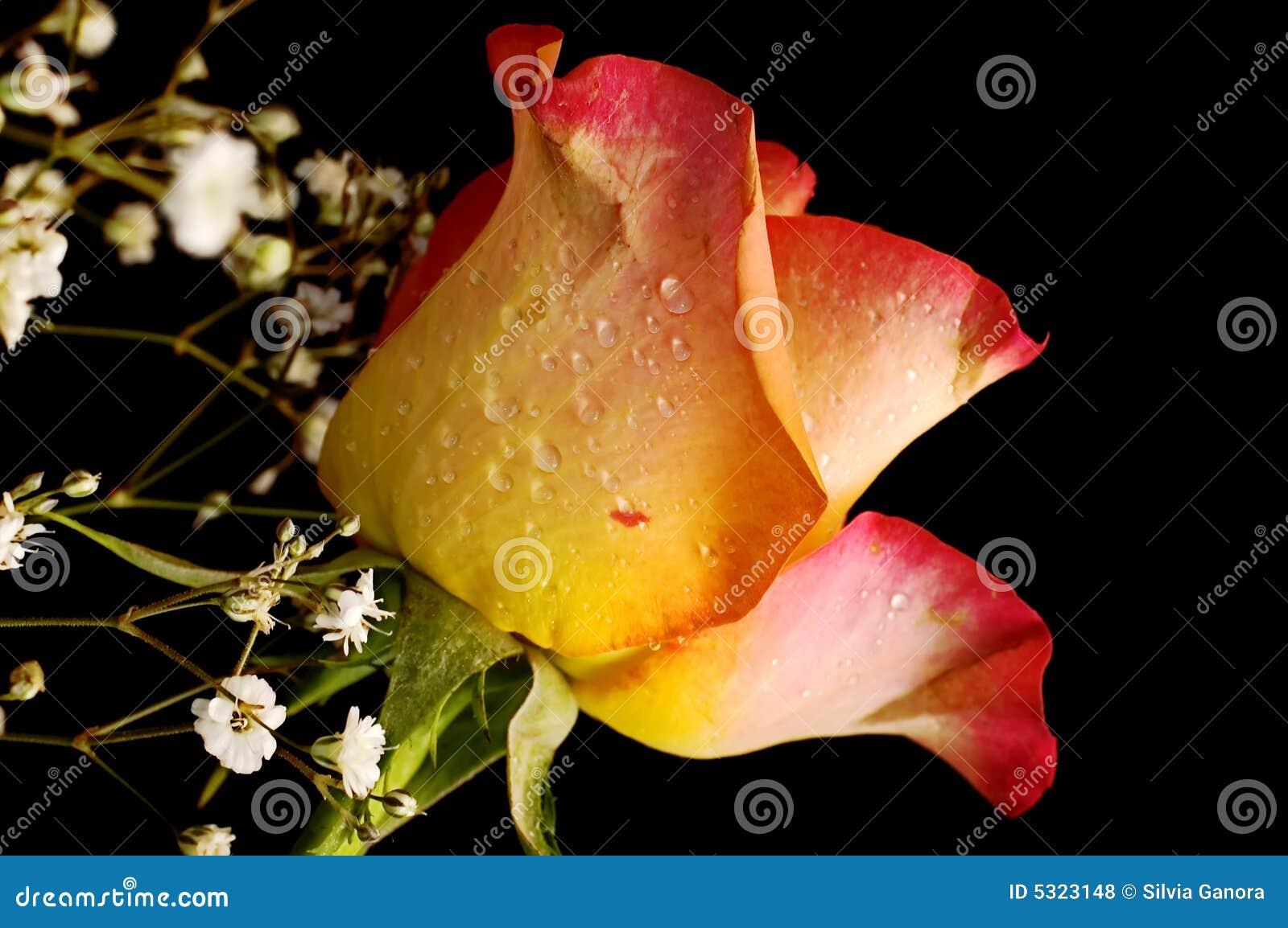 Download Rosa Su Priorità Bassa Nera Fotografia Stock - Immagine di pink, fiore: 5323148
