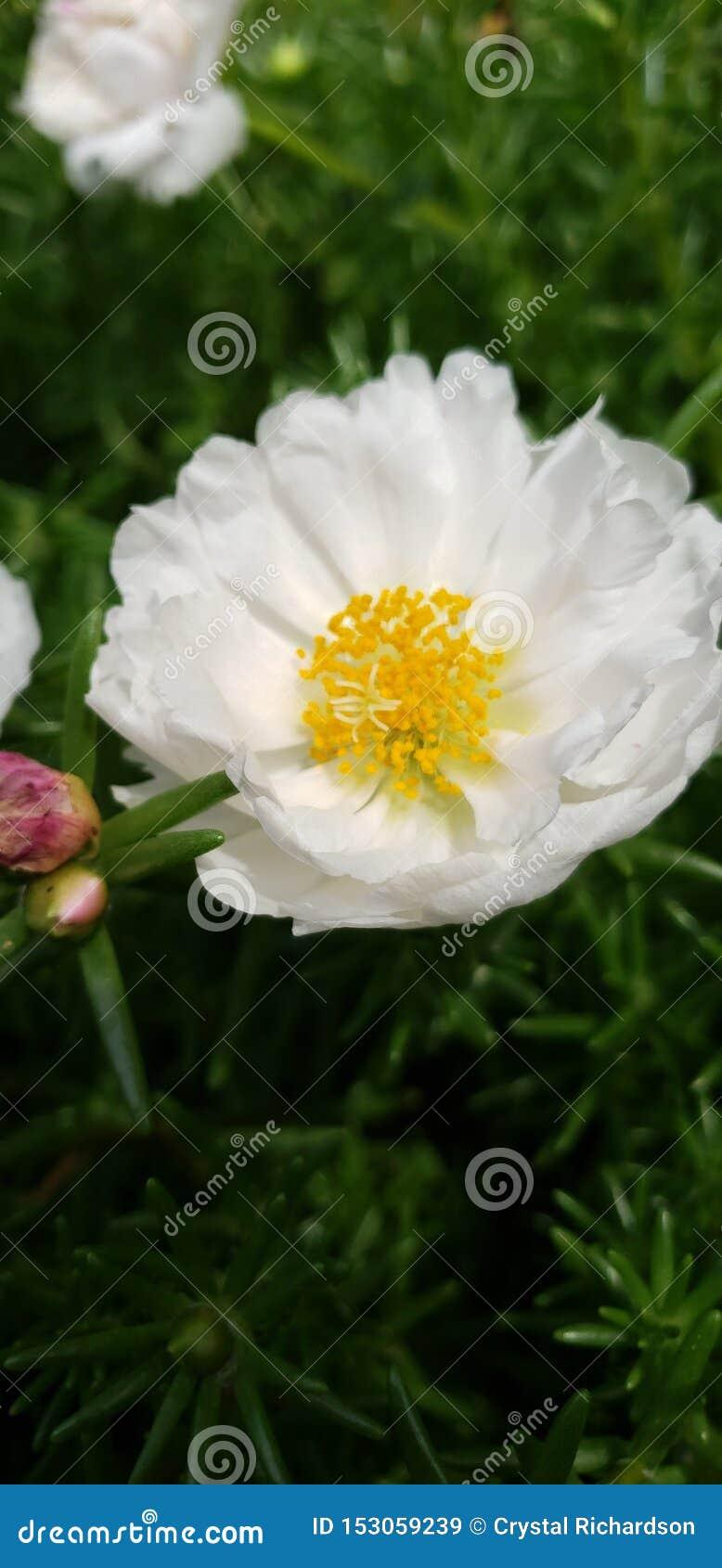 Rosa suculenta del blanco de jardín