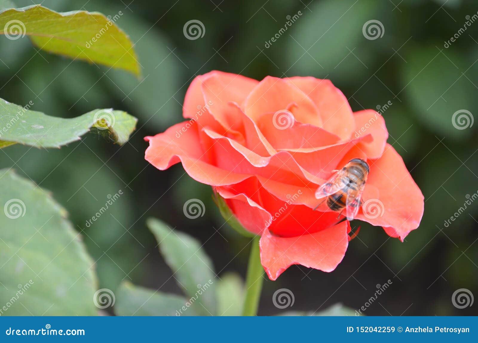 Rosa rosa sui fiori rosa delle rose del fondo