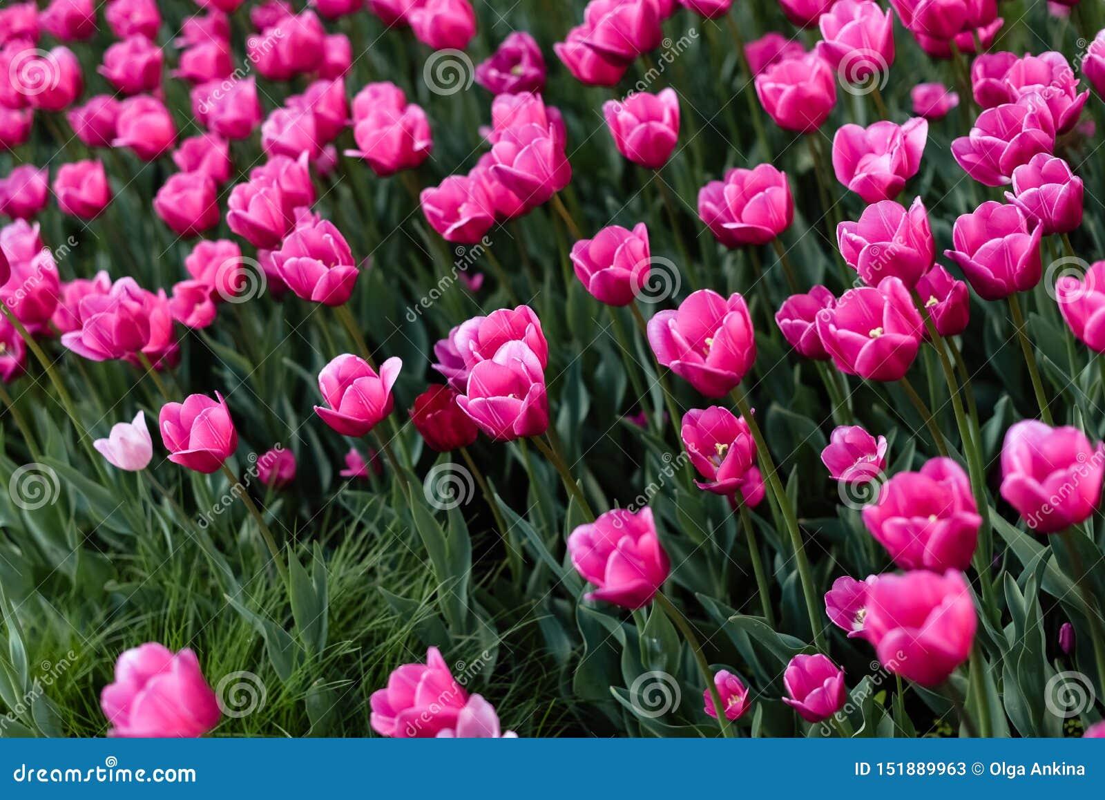 Rosa tulpan - foto med massor av blommor