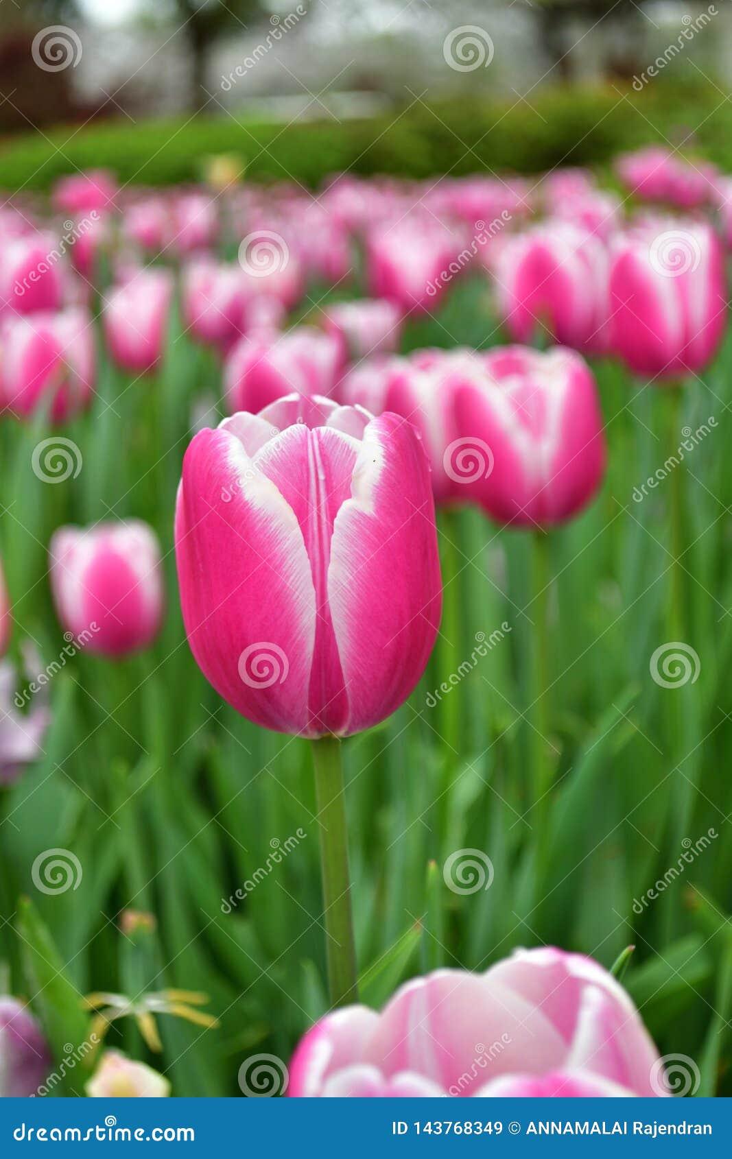 Rosa Tulpe mit blured Hintergrund
