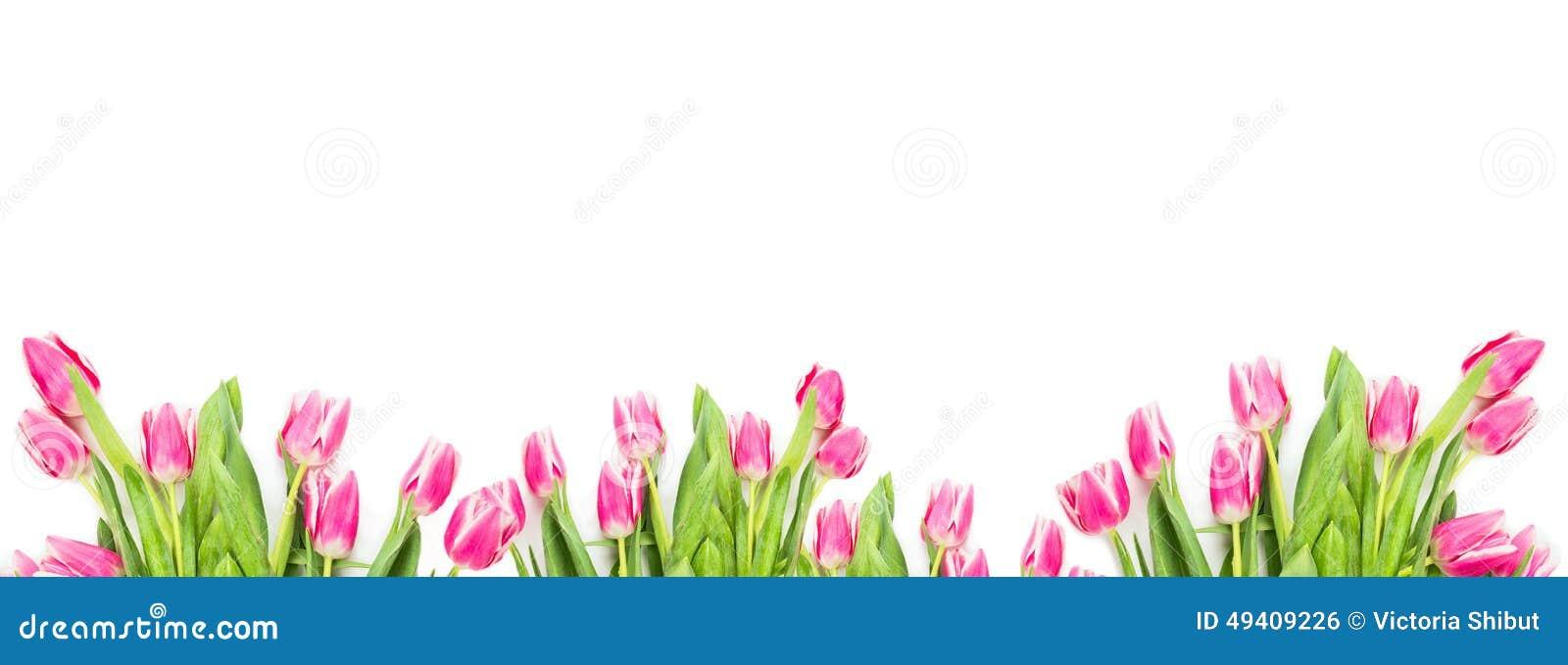 Download Rosa Tuplips Auf Weißem Hintergrund, Fahne Stockfoto - Bild von frech, blatt: 49409226