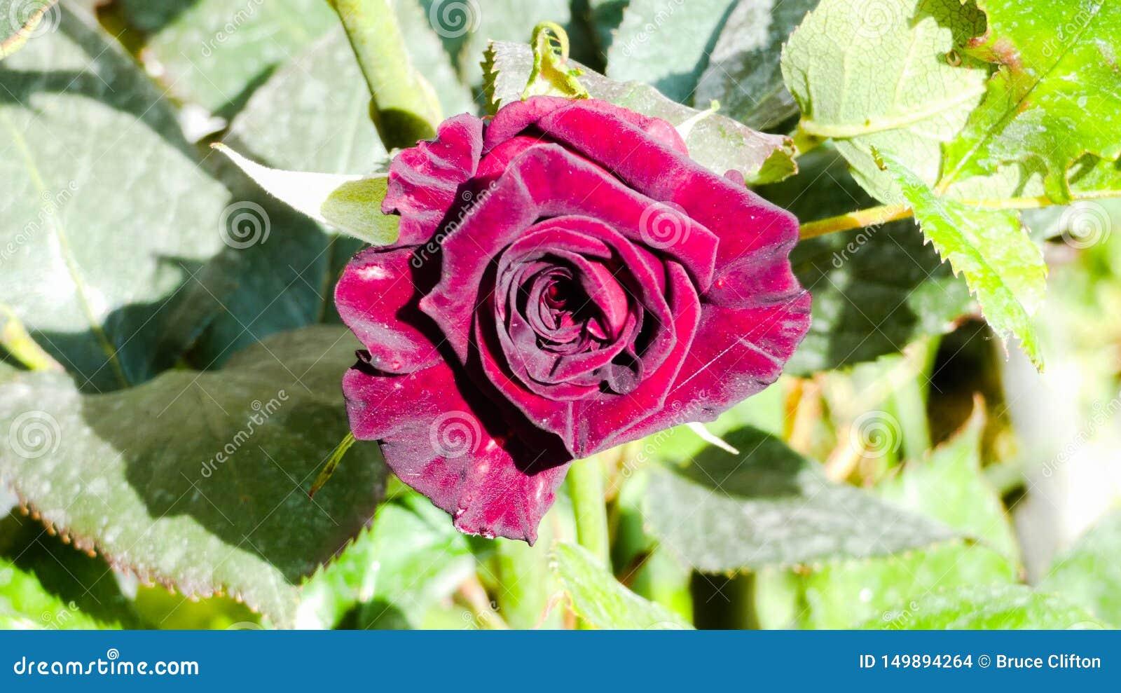 Rosa uma única Rosa vermelha