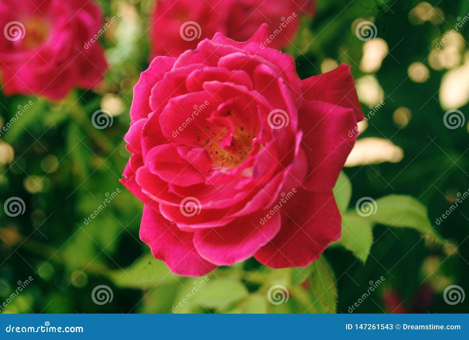 Rosa vermelha bonita ? uma flor muito bonita