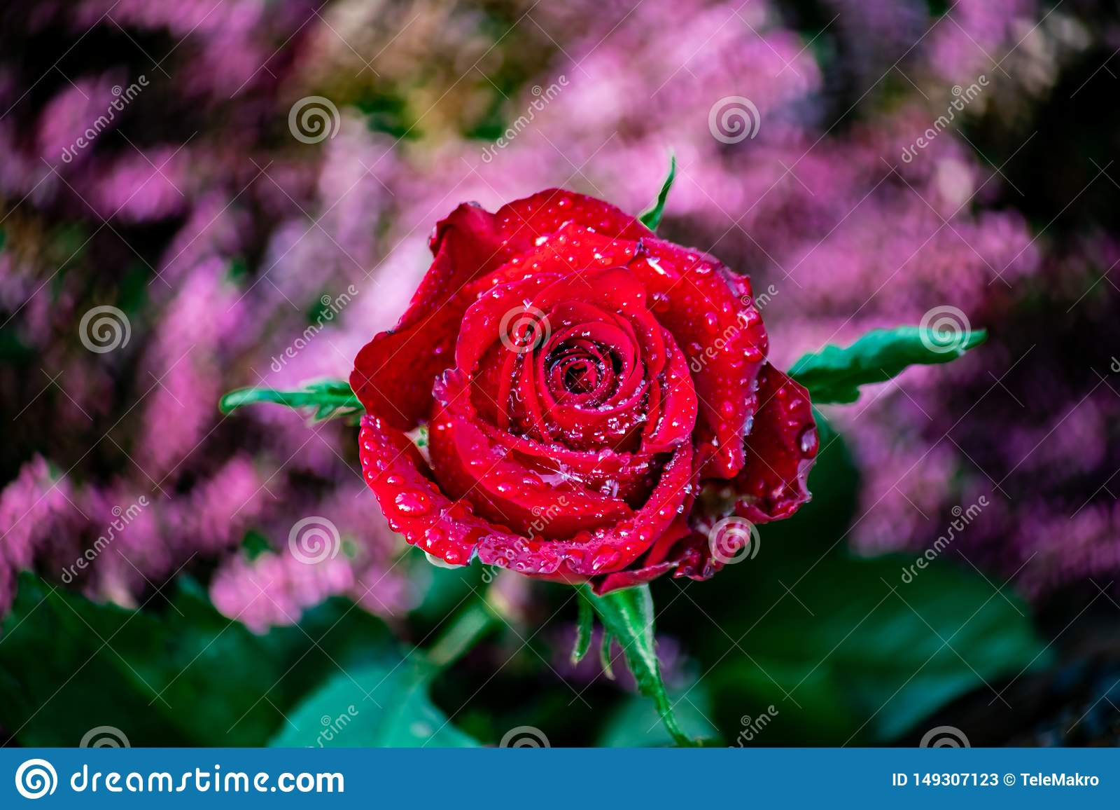 Rosa vermelha com waterdrops brilhantes