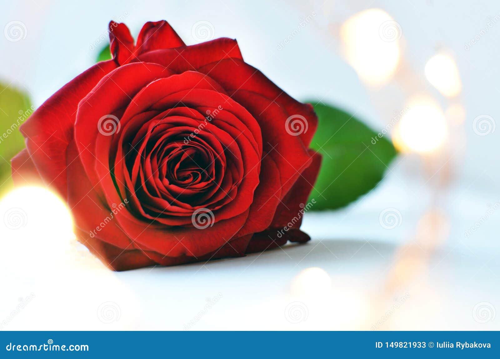 Rosa vermelha em claro - close-up do fundo azul e das luzes feericamente com espaço para o texto