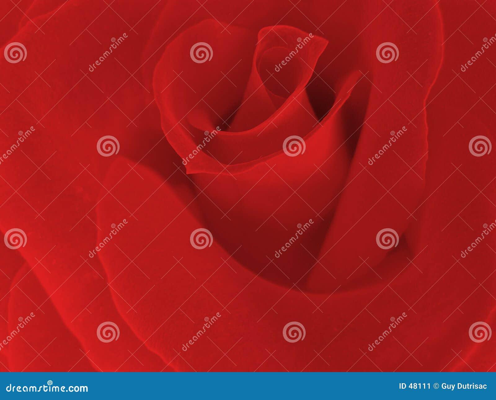 Rosa vermelha vívida