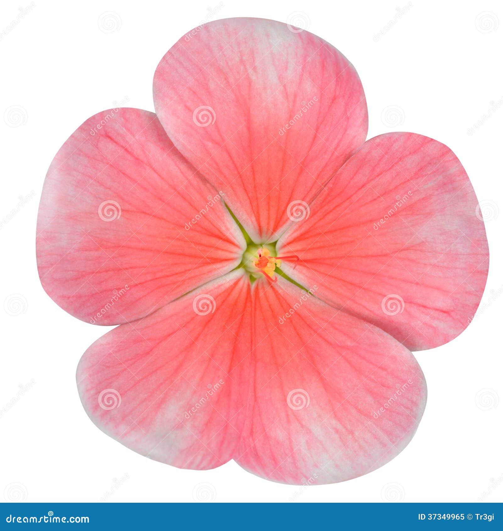 Rosa vintergrönablomma som isoleras på vit
