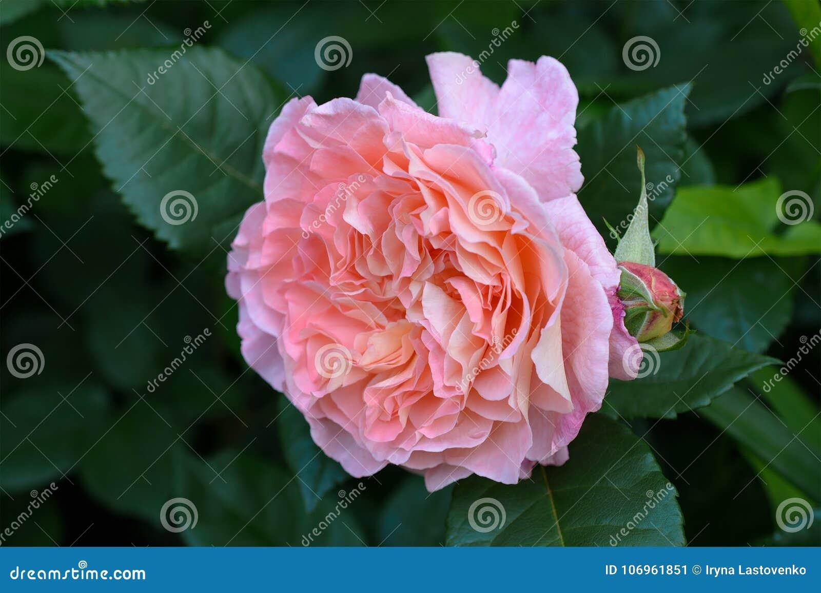 Rosa vivace Augusta Luise di rosa nel giardino di estate Sosta della sorgente