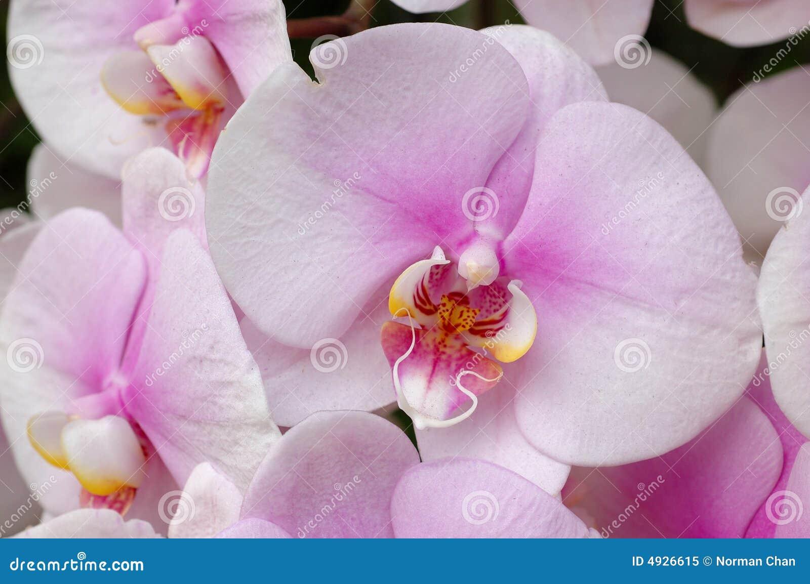 Rosa white för orchids