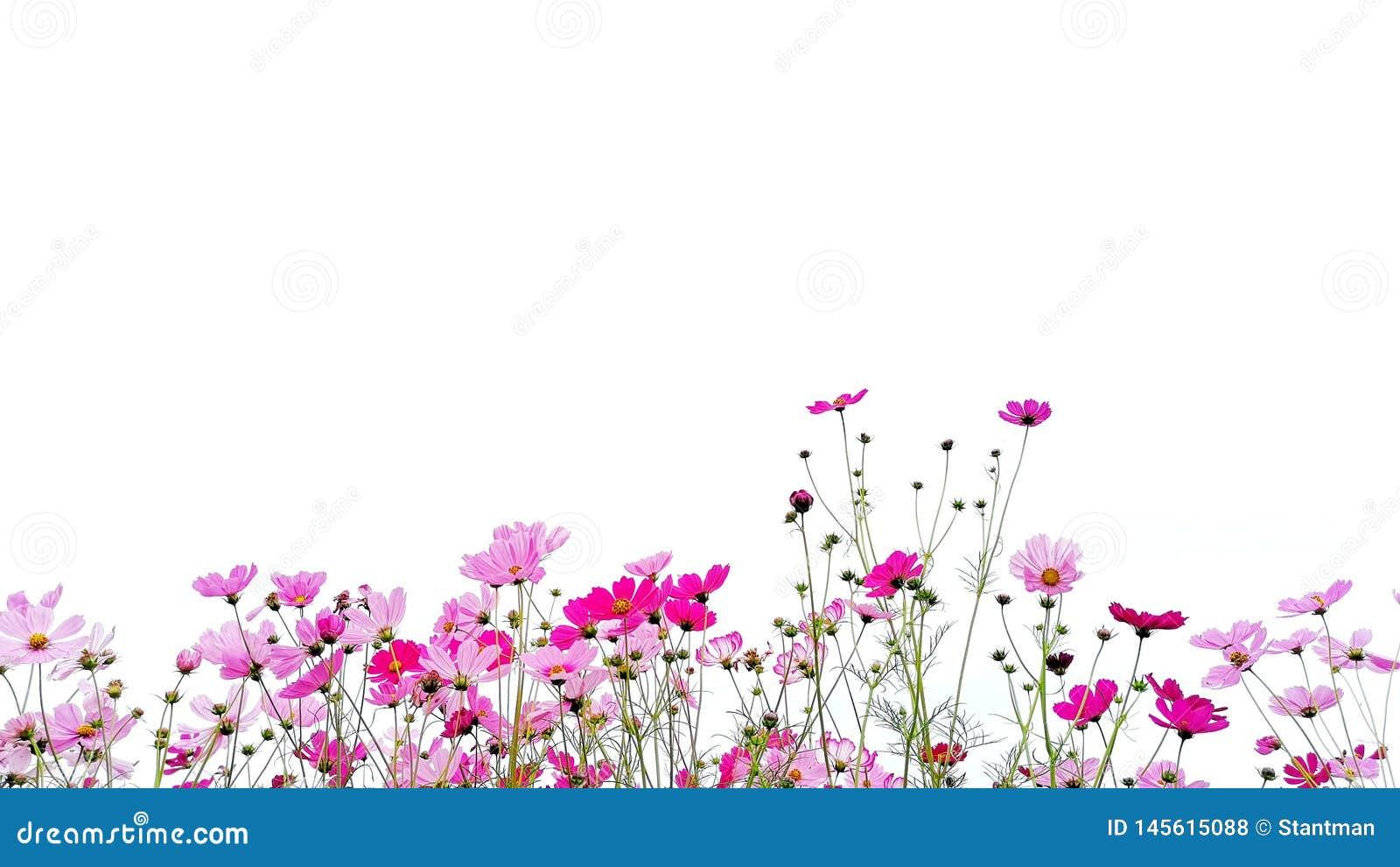 Rosa y aster rojo del flor del cosmos del jardín o mexicano con el tronco verde