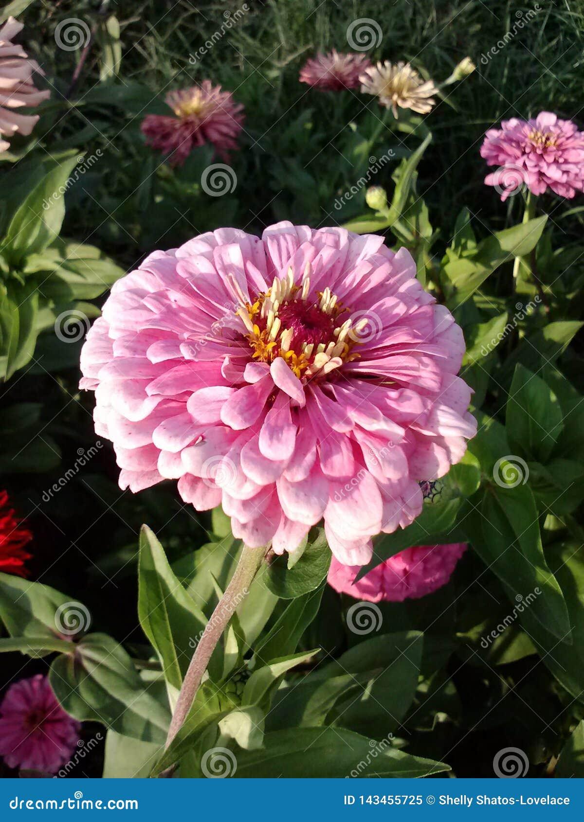 Rosa zinnia f?r blomma