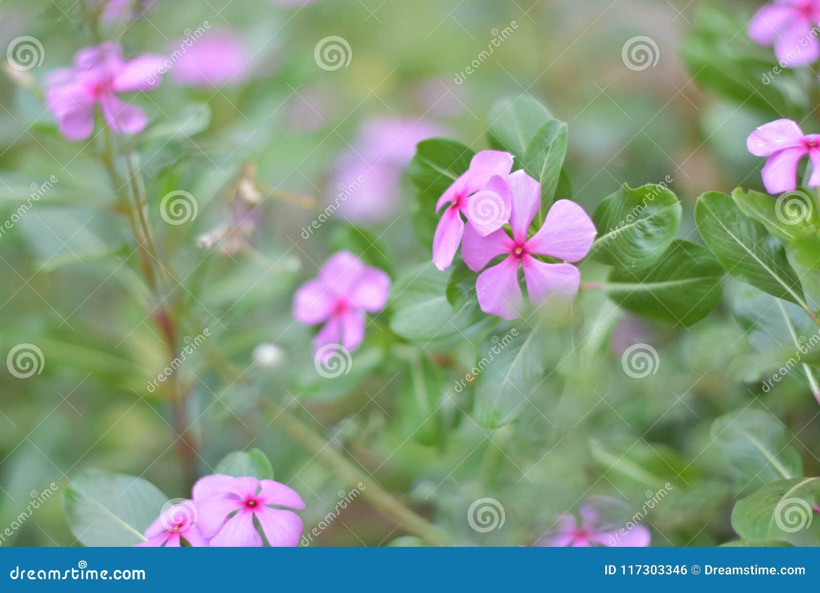 Rosa Zukunft der Blume