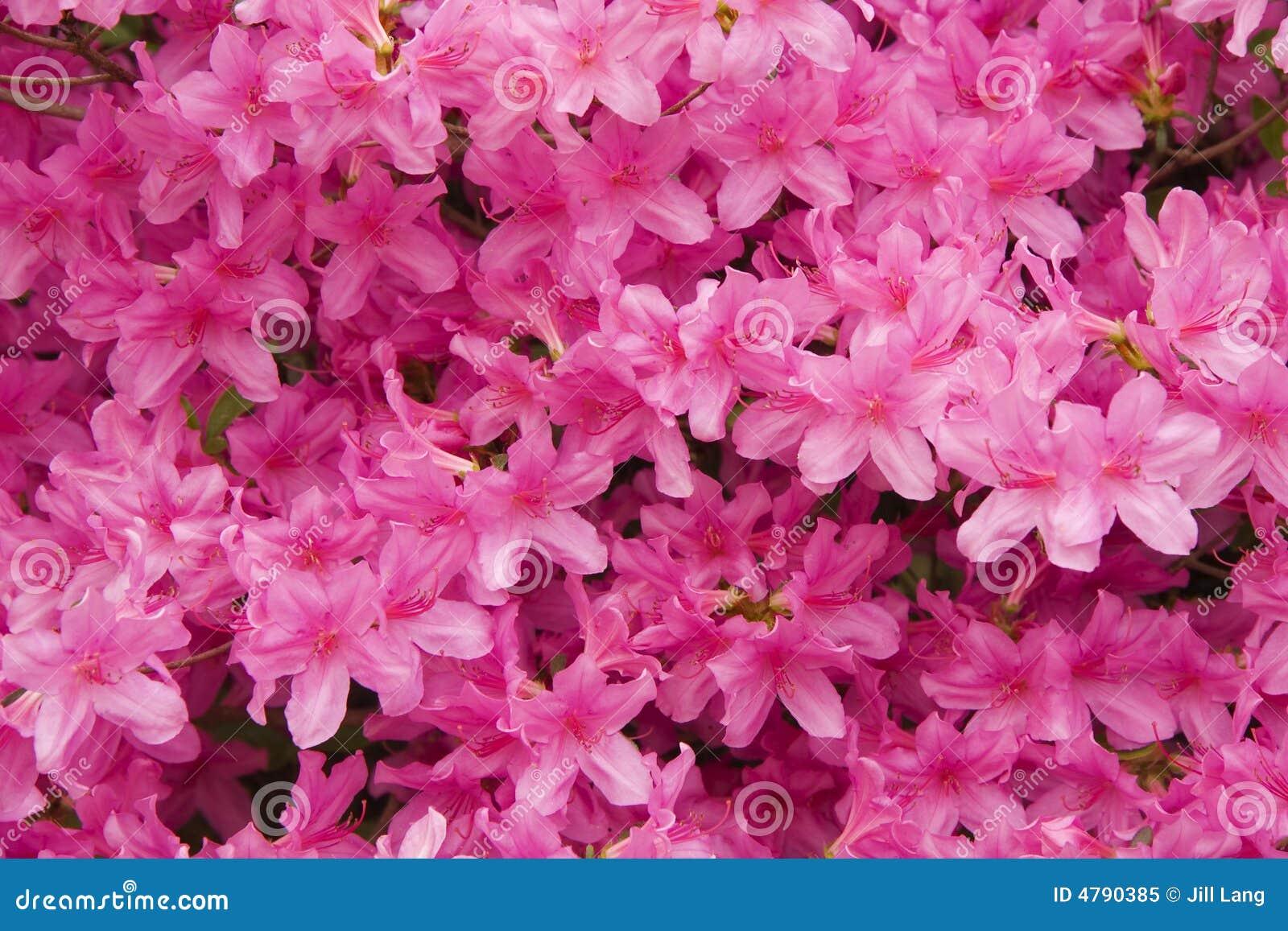 Rosafarbene Azaleen