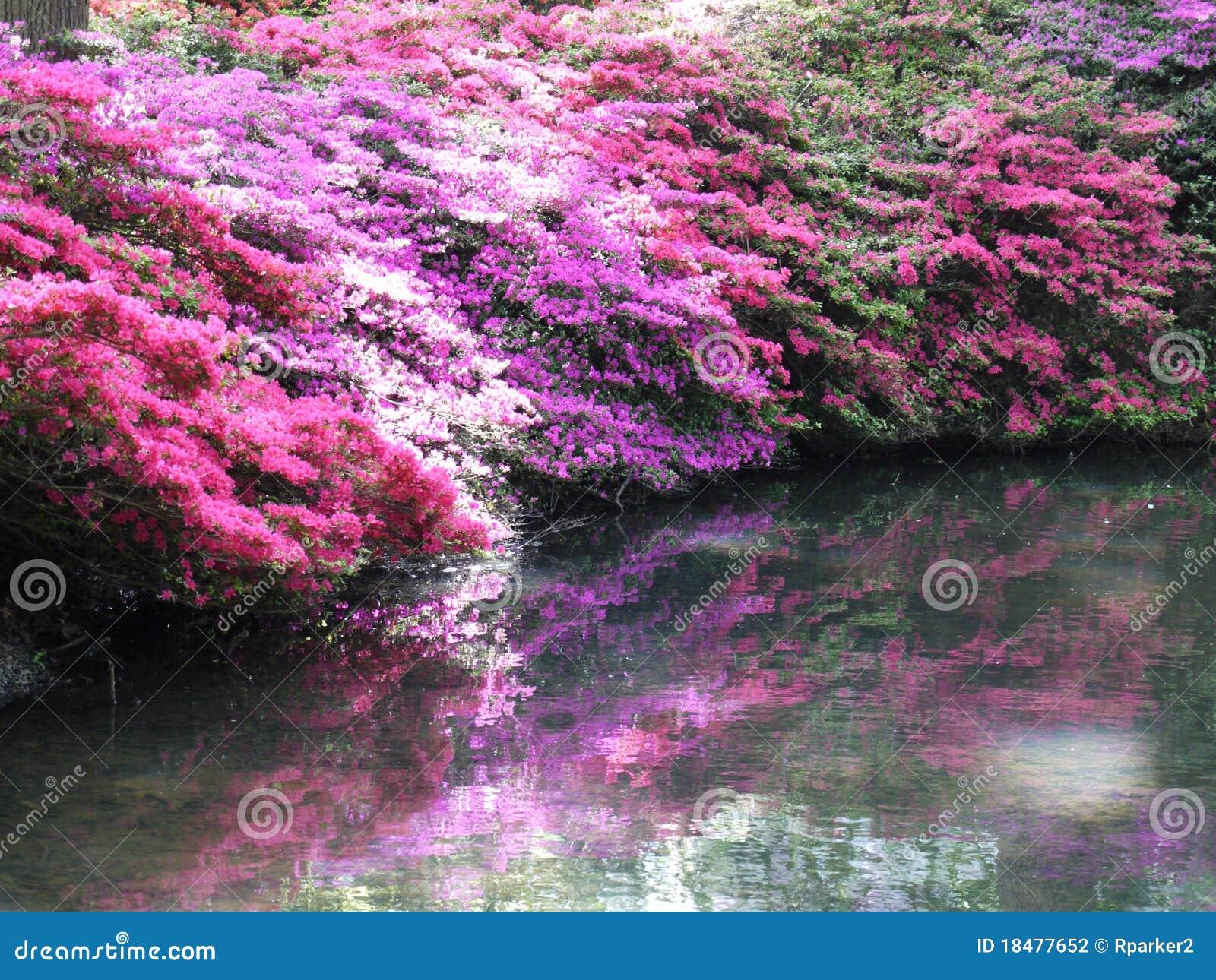Rosafarbene Azaleen mit Schatten über Wasser