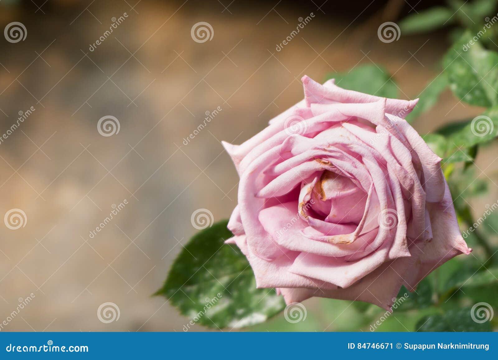 Rosafarbene Blume des schönen Rosas Natürlicher Farbhintergrund Valentinsgruß `s Tag